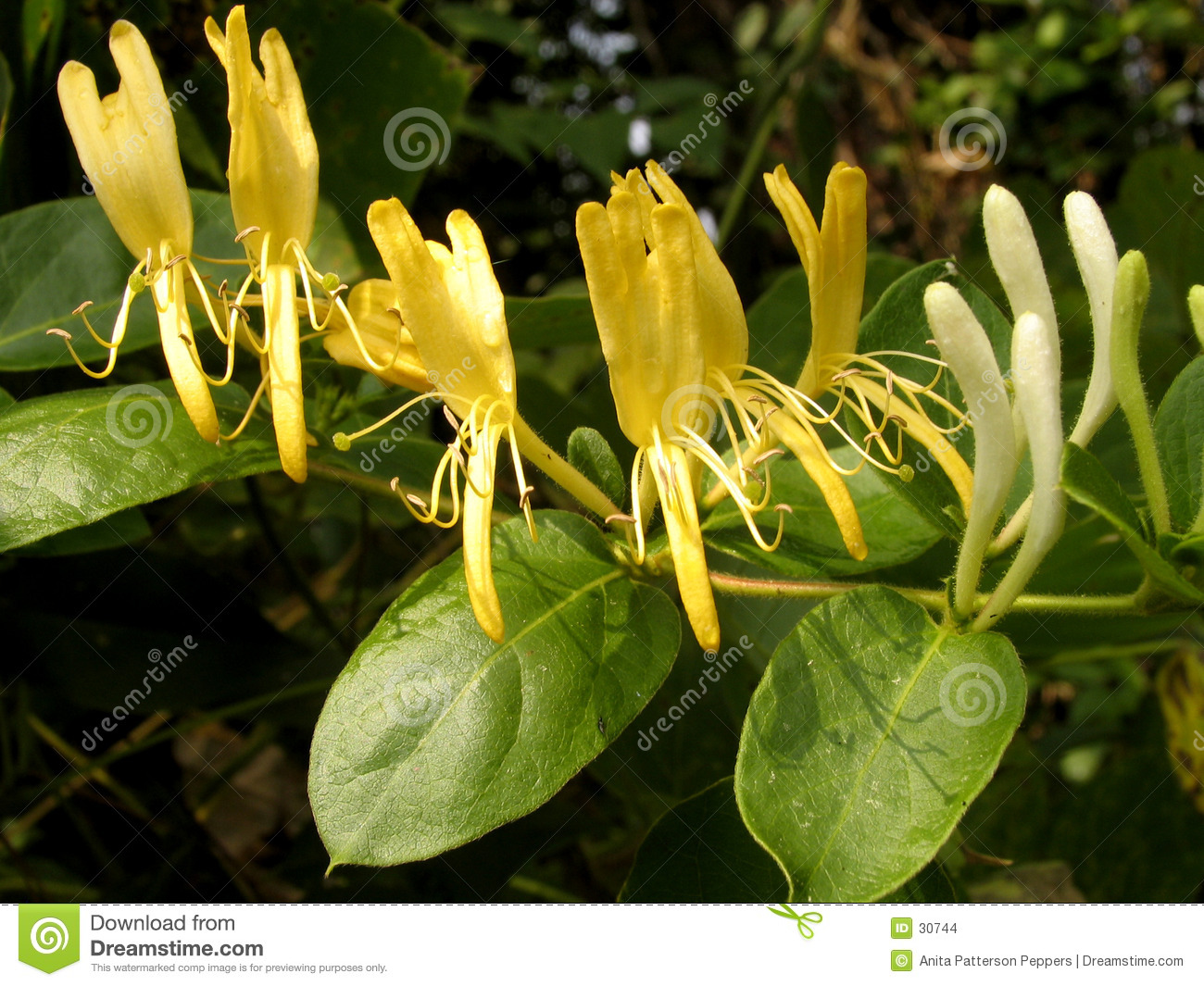 Close up of yellow honeysuckle flowers on a vine.