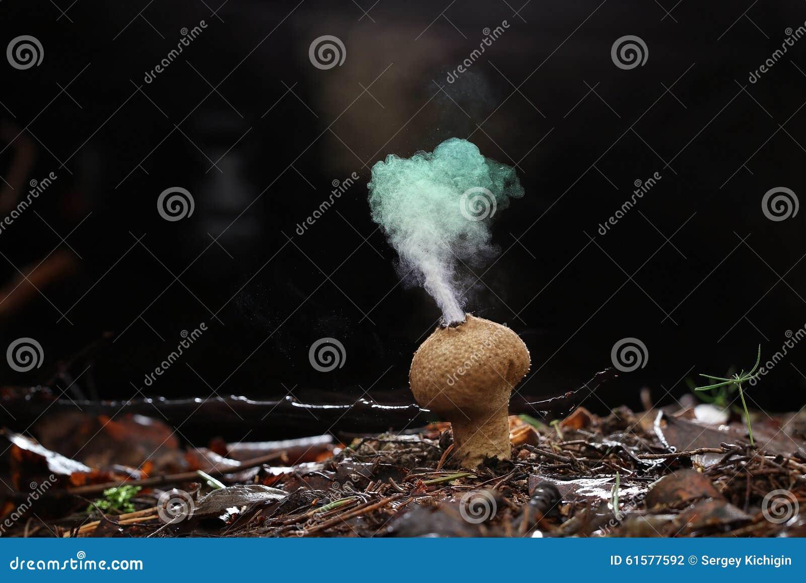 Hongo del Puffball en bosque