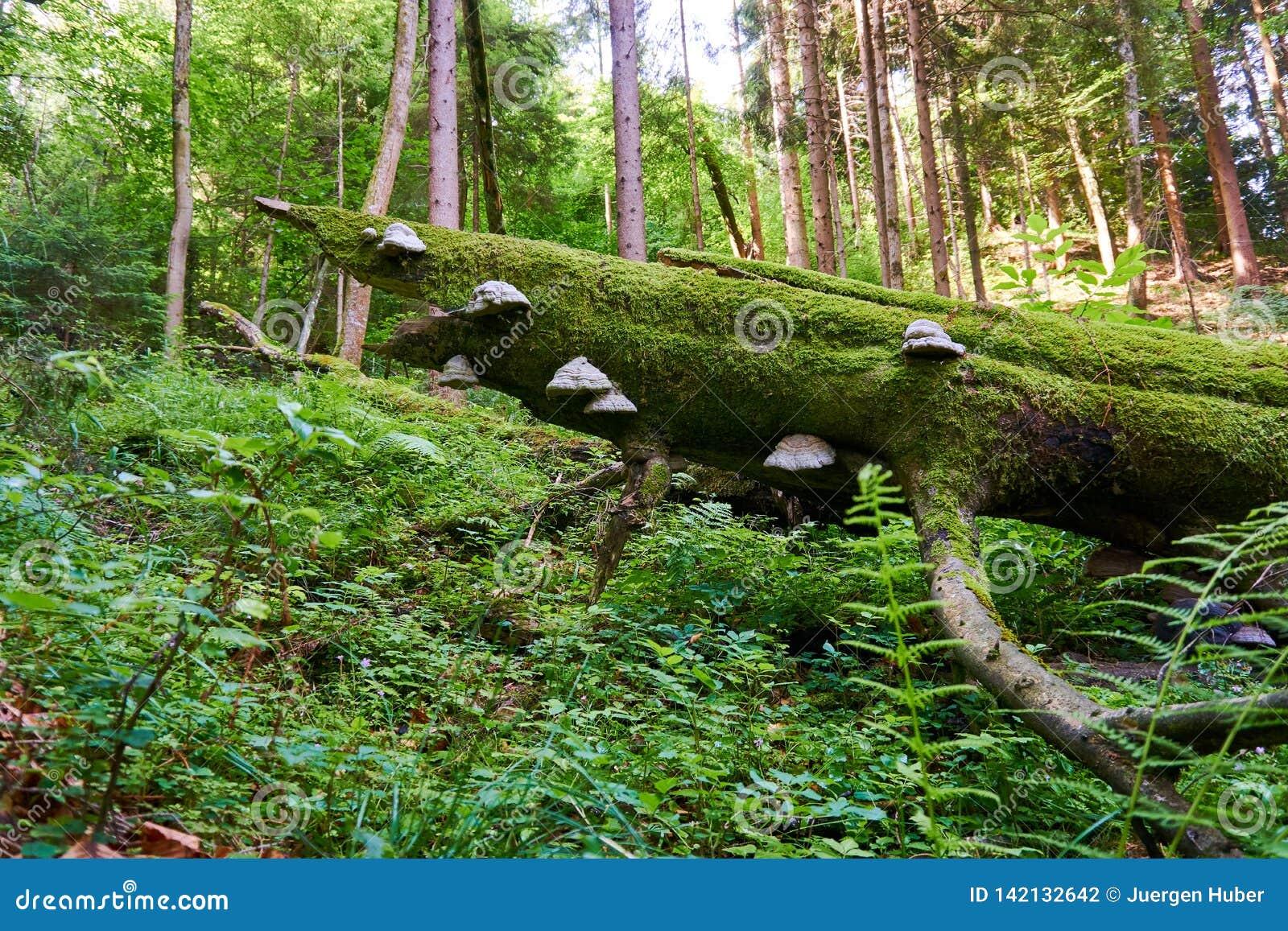 Hongo que crece en un árbol en la madera