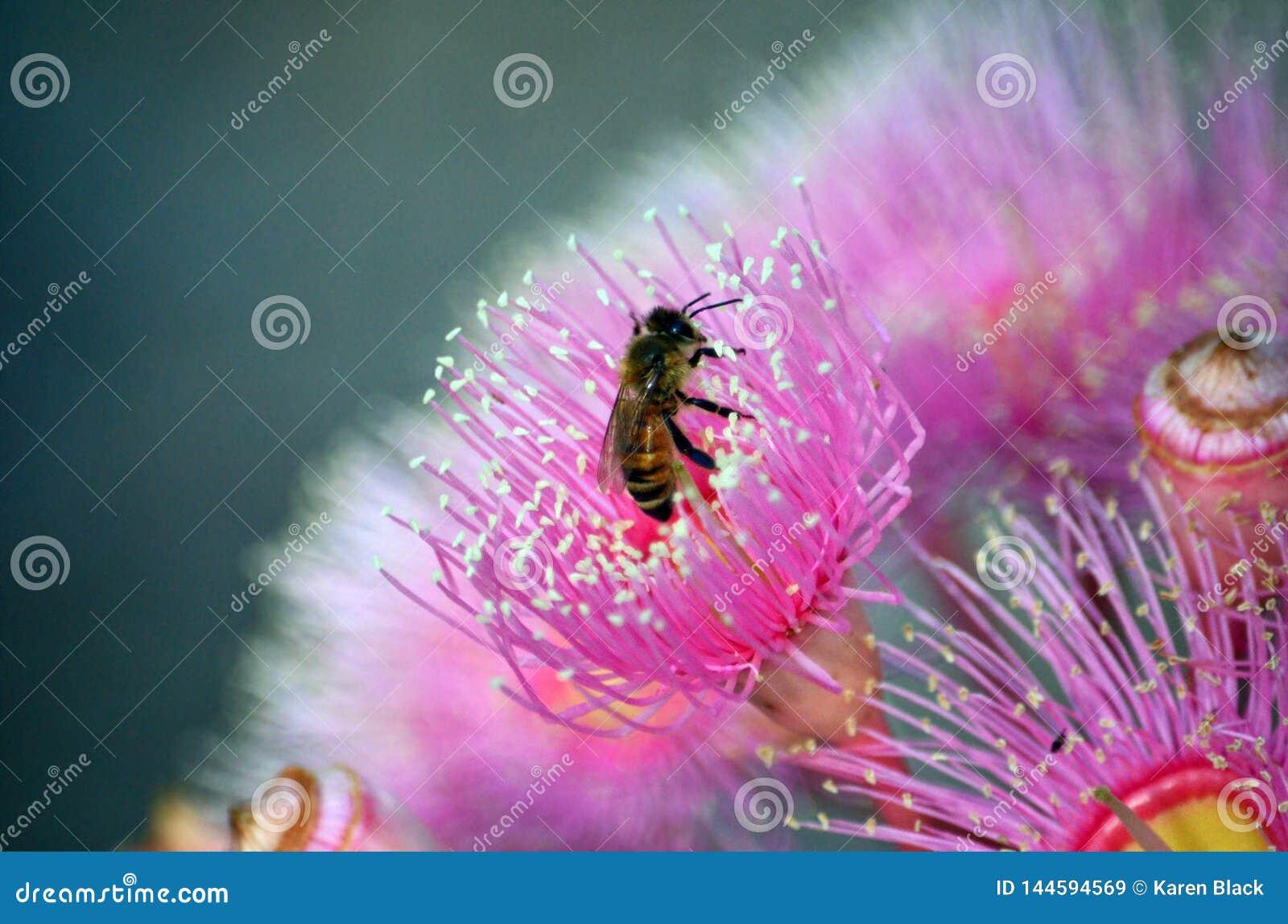 Honigbiene, die eine rosa Australier Corymbia-Blüte bestäubt
