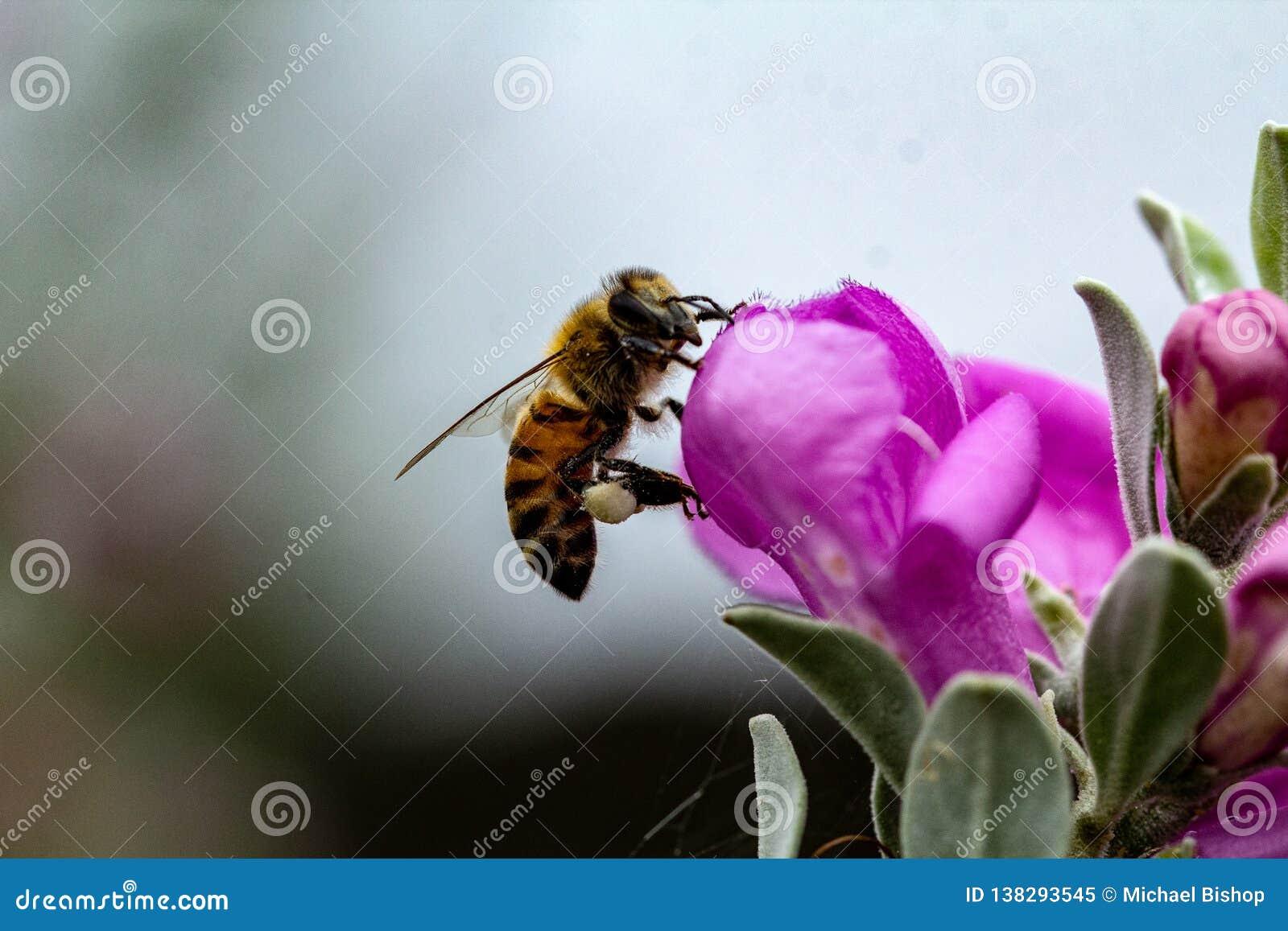 Honigbiene mit dem Blütenstaub auf den Beinen, die auf weiser Blume landen