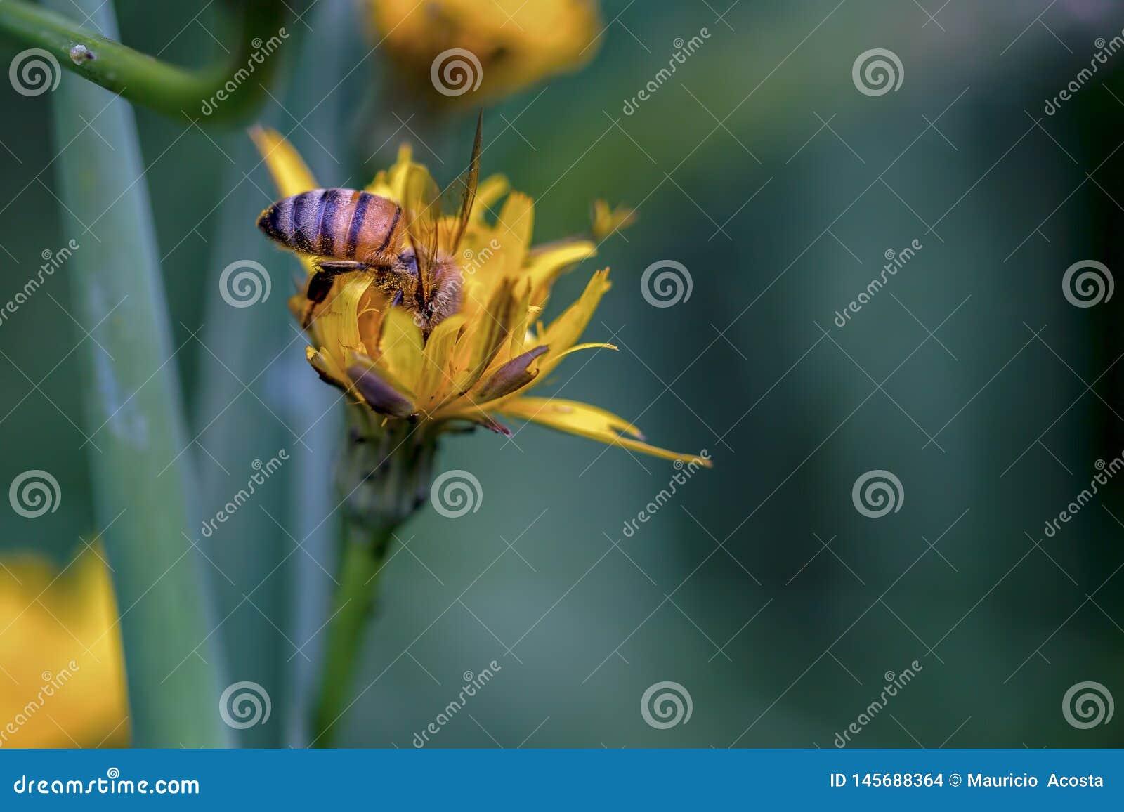 Honingbij het voeden op een paardebloembloem