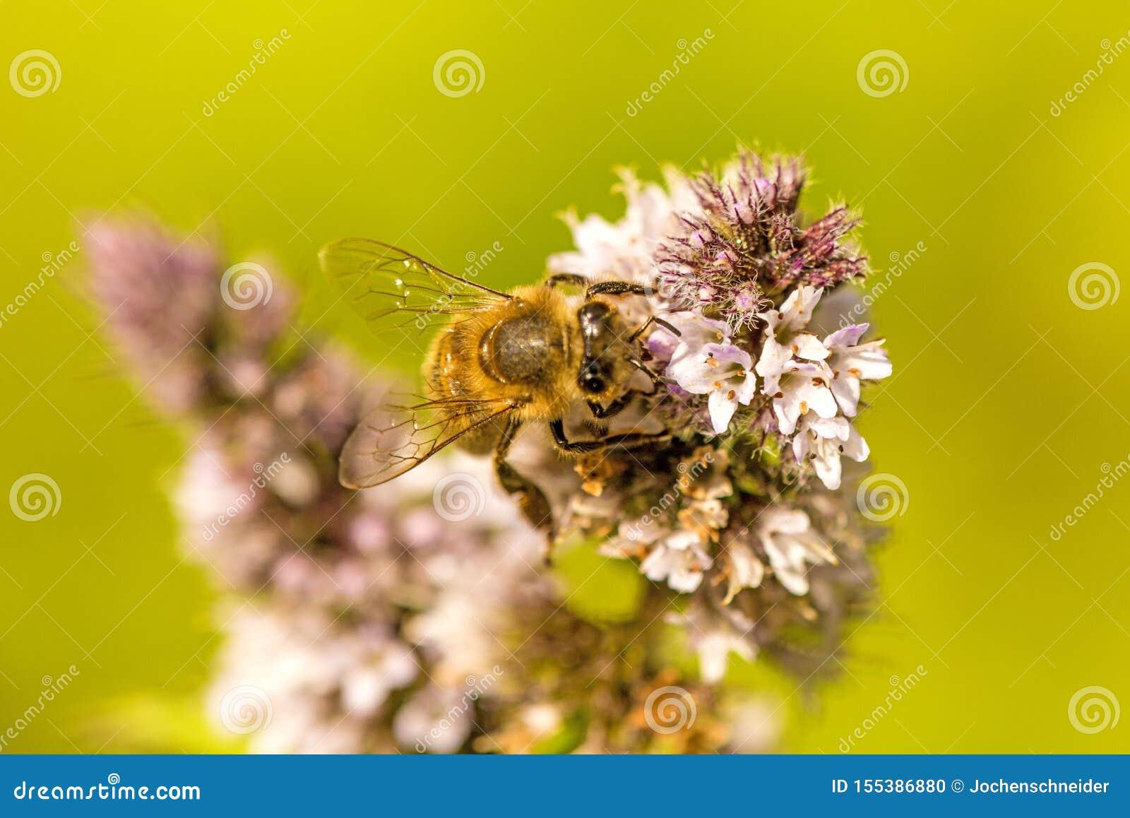 Honingbij op een bloem van een pepermunt