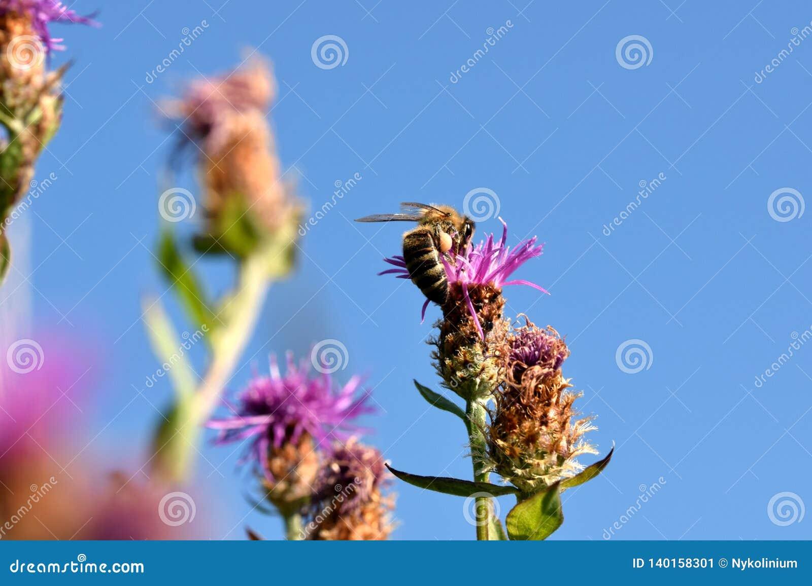 Honingbij op een roze bloem