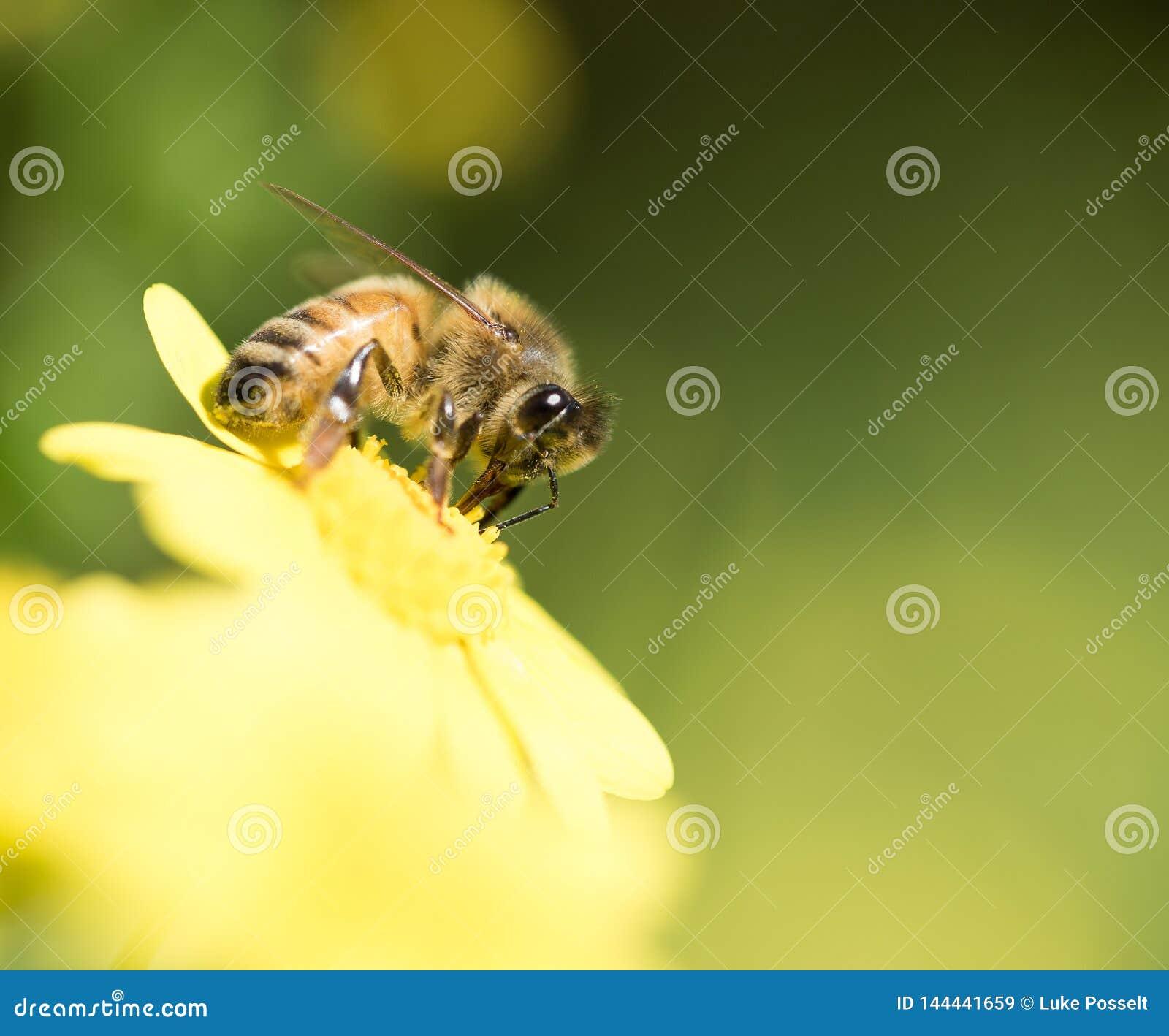 Honingbij in stuifmeelclose-up die wordt behandeld