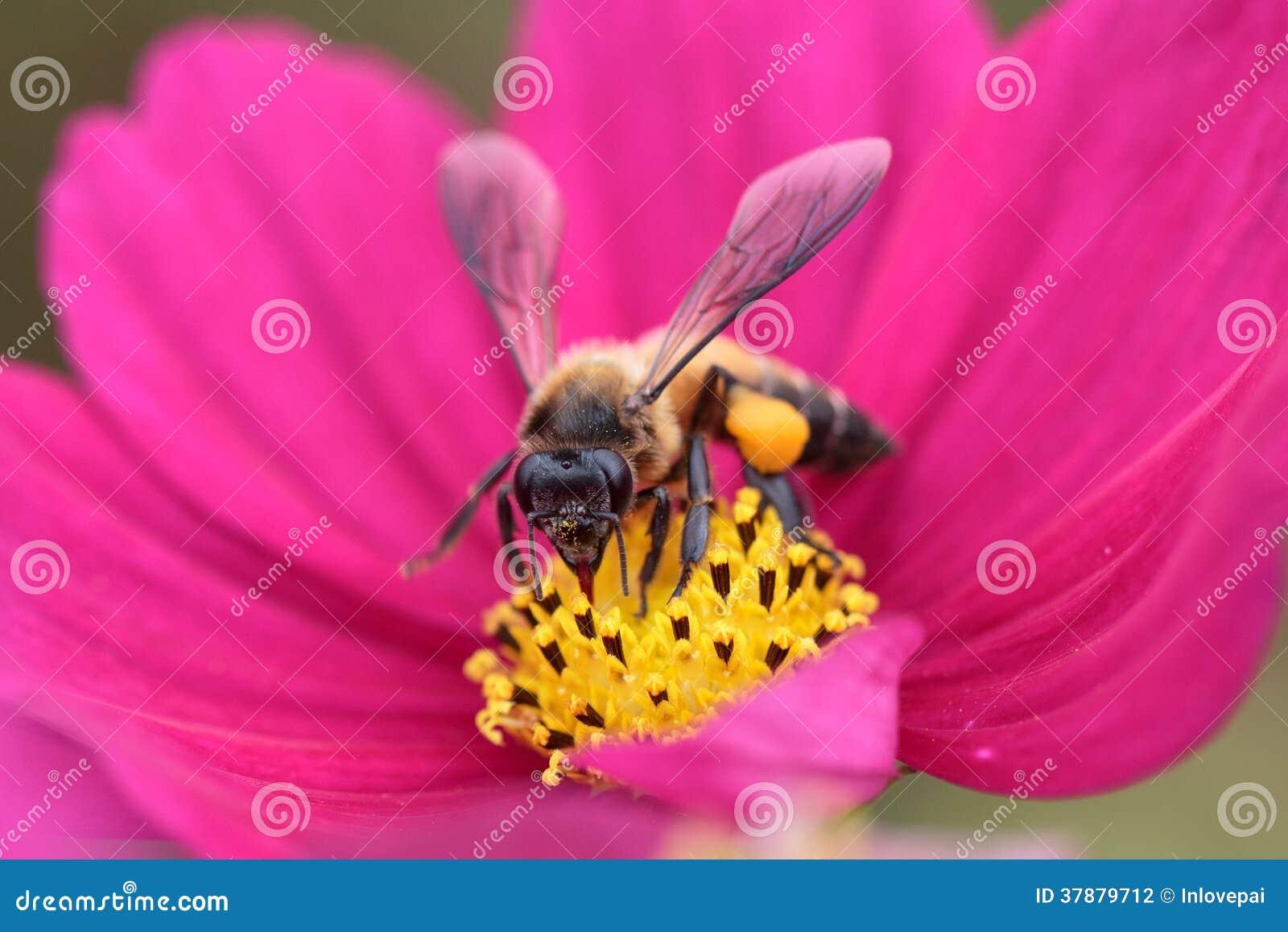 Honingbij van rode bloem wordt bestoven die