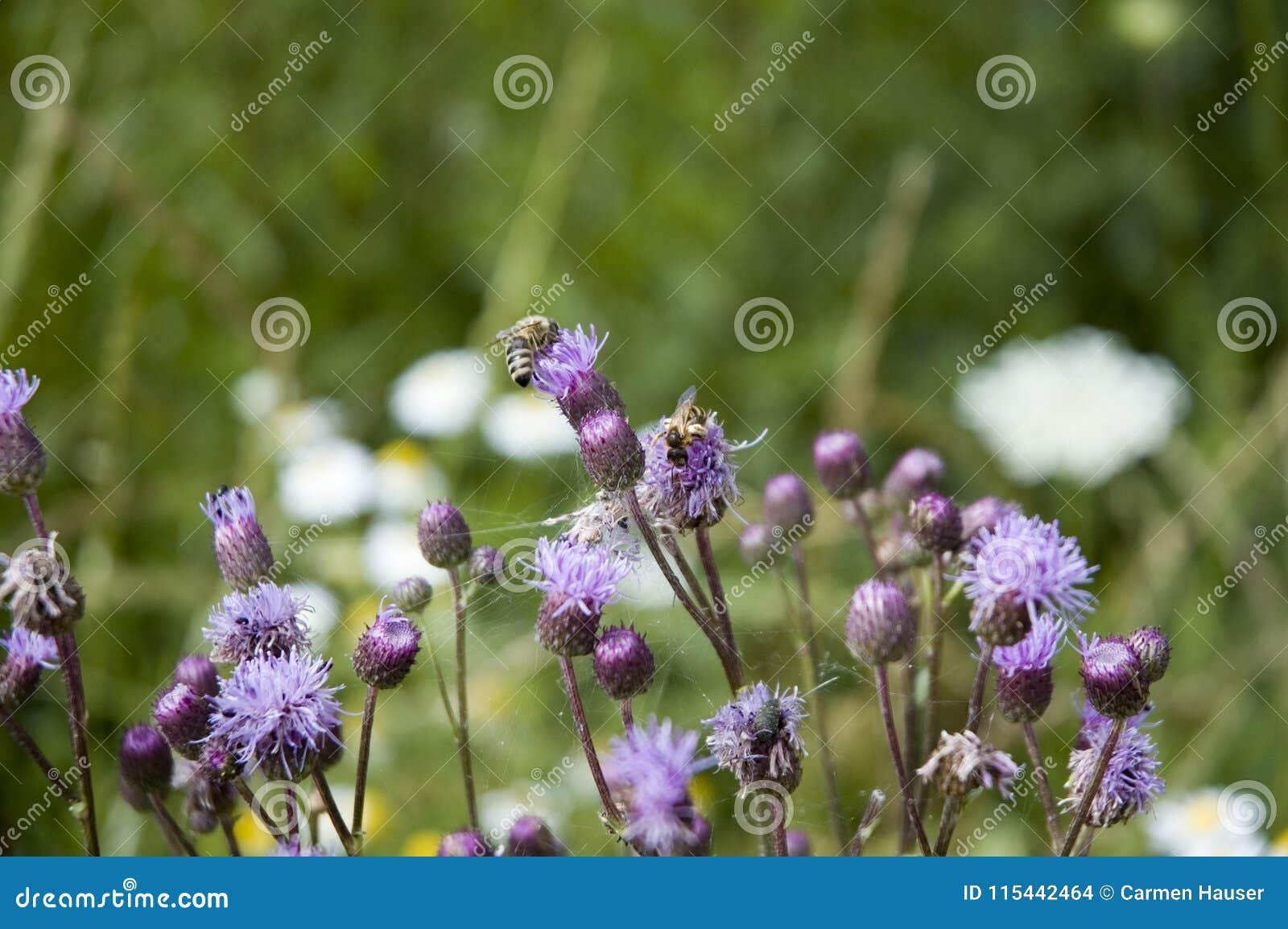 Honungbi på blommor för blå tistel