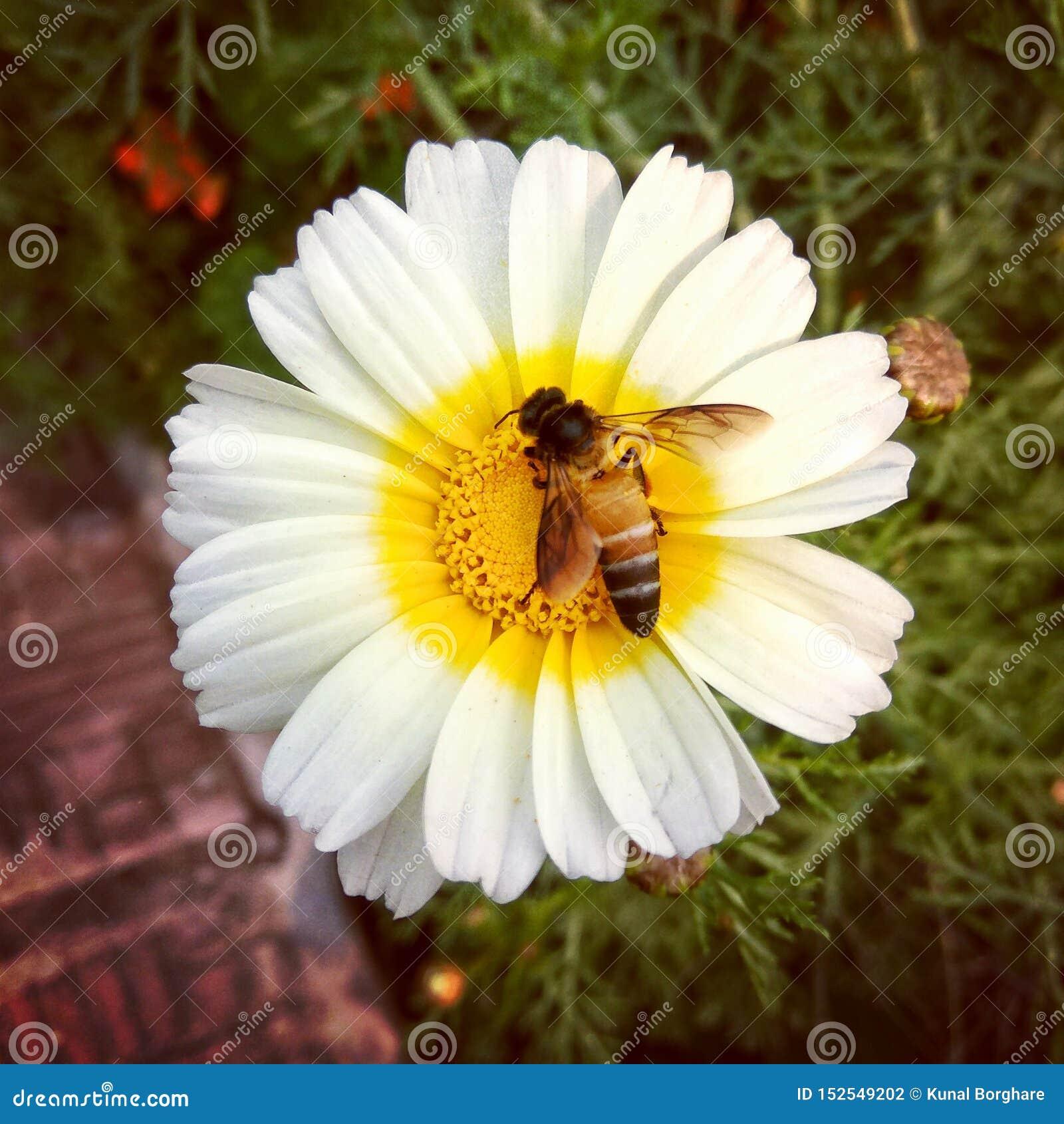 Honungbiförälskelse med blommor