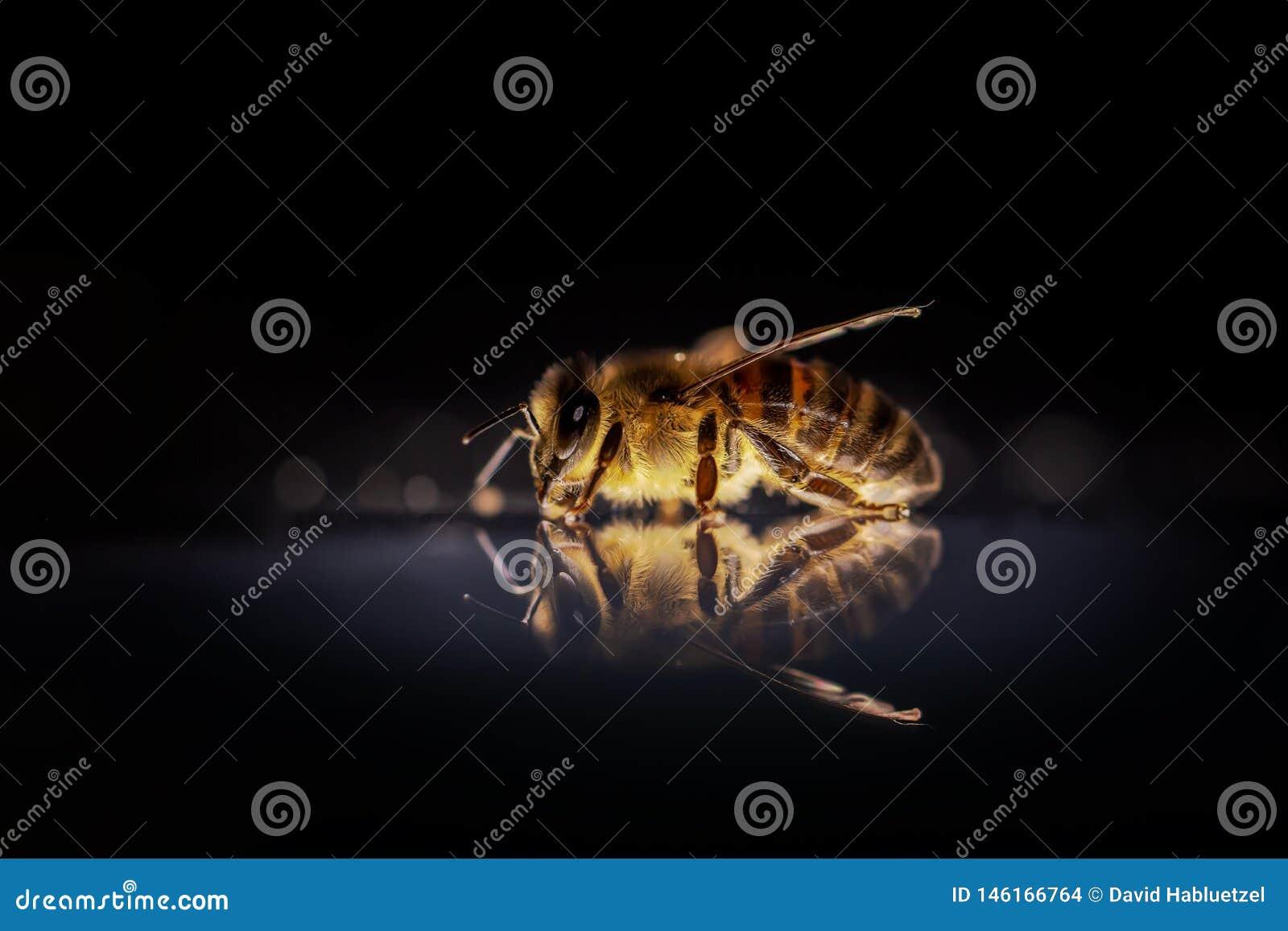 Honungsbi till att arbeta