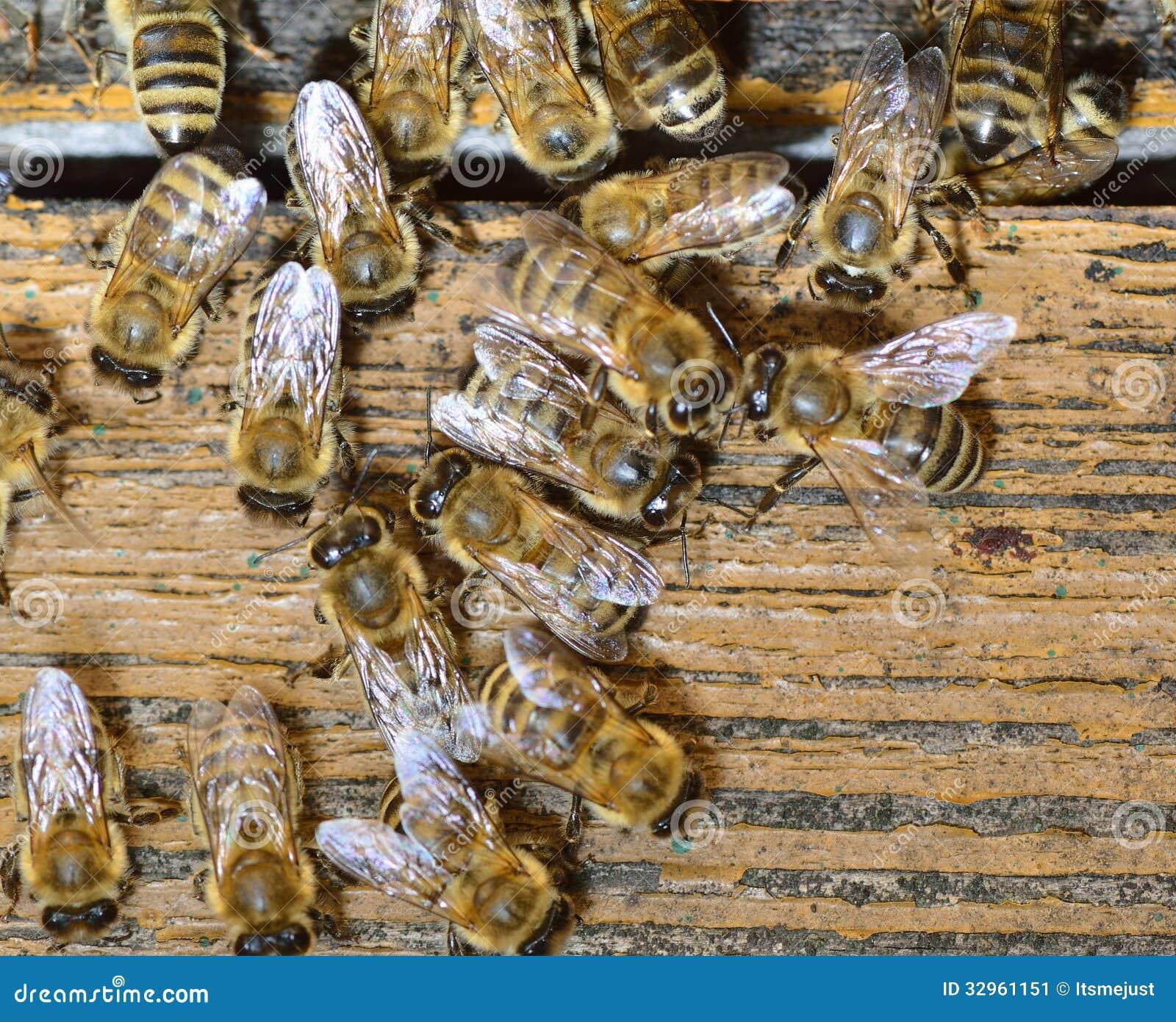 honungsbin