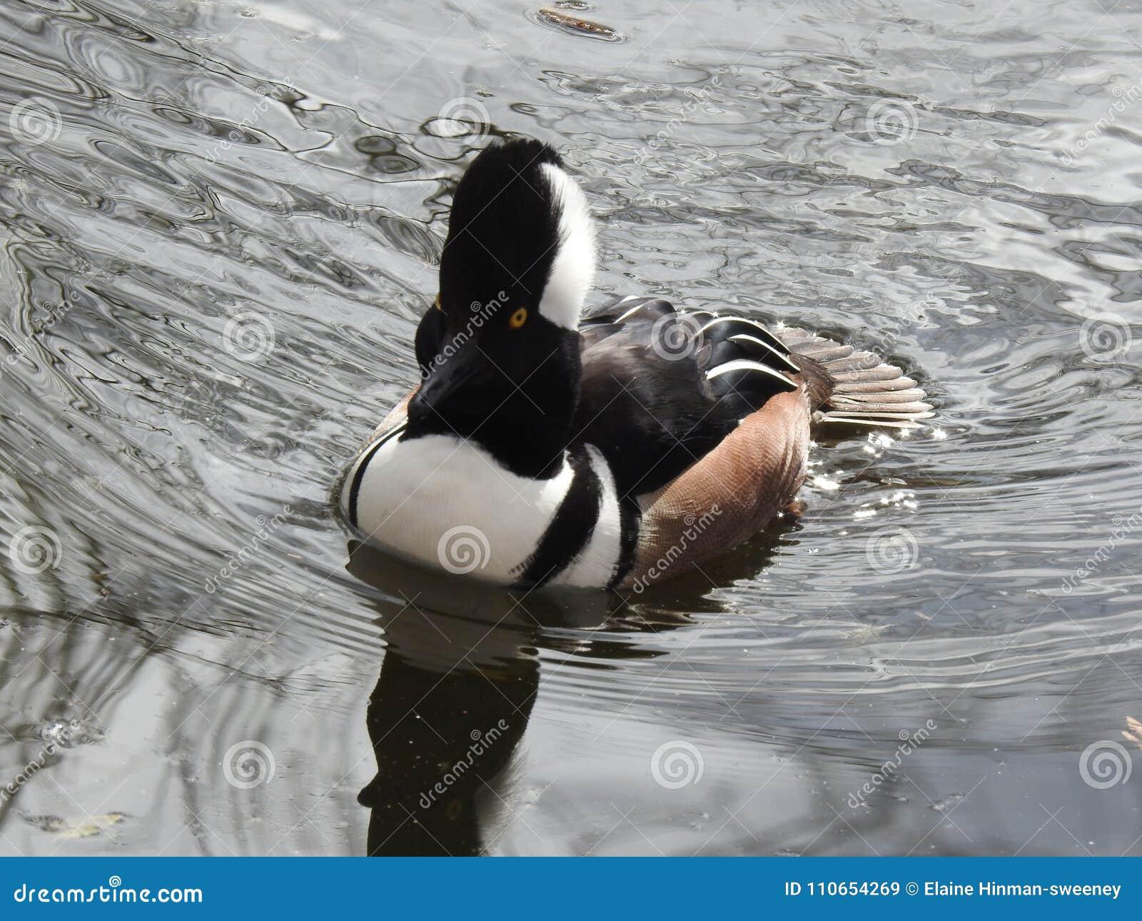 Hooded Merganser on Rippling Water