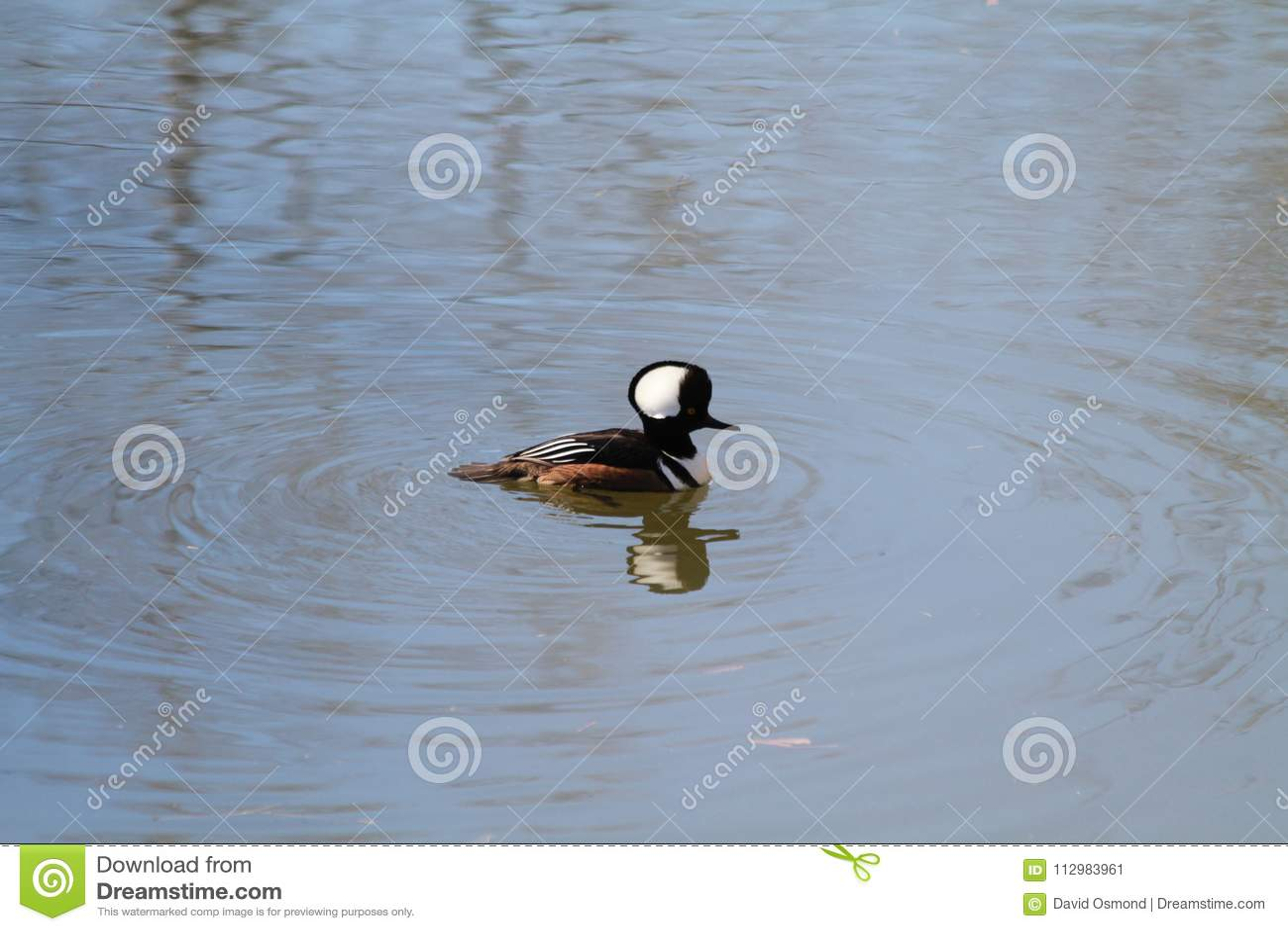 Hooded merganser swimming on a river