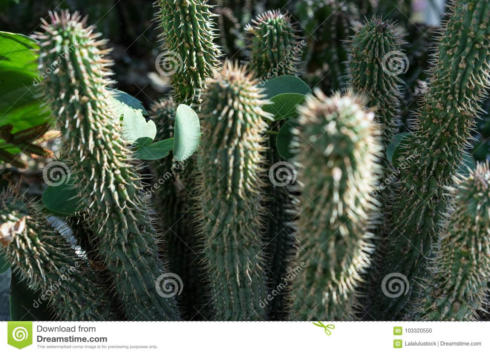 Hoodia Gordonii Cactus Plant Succulent Stock Photo Image Of