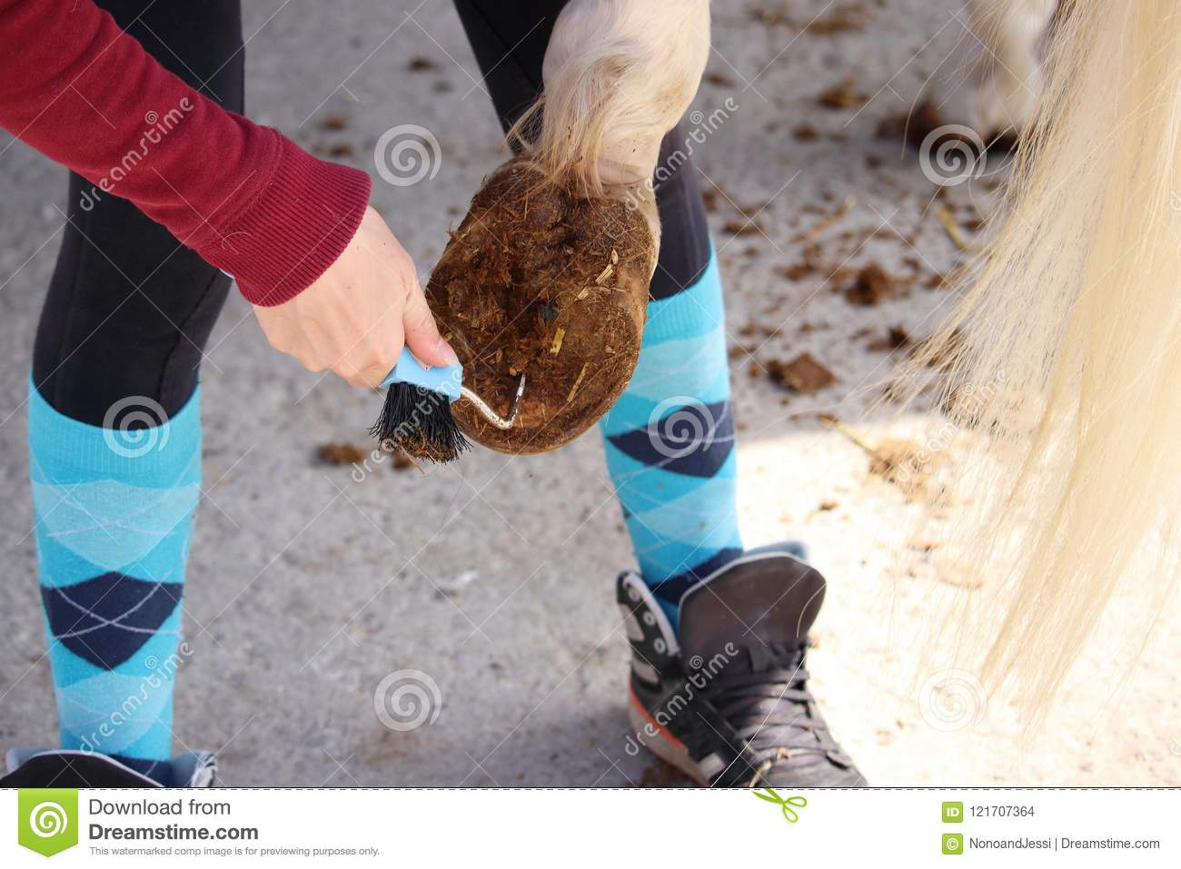 Hoof care of a white horse before being mounted