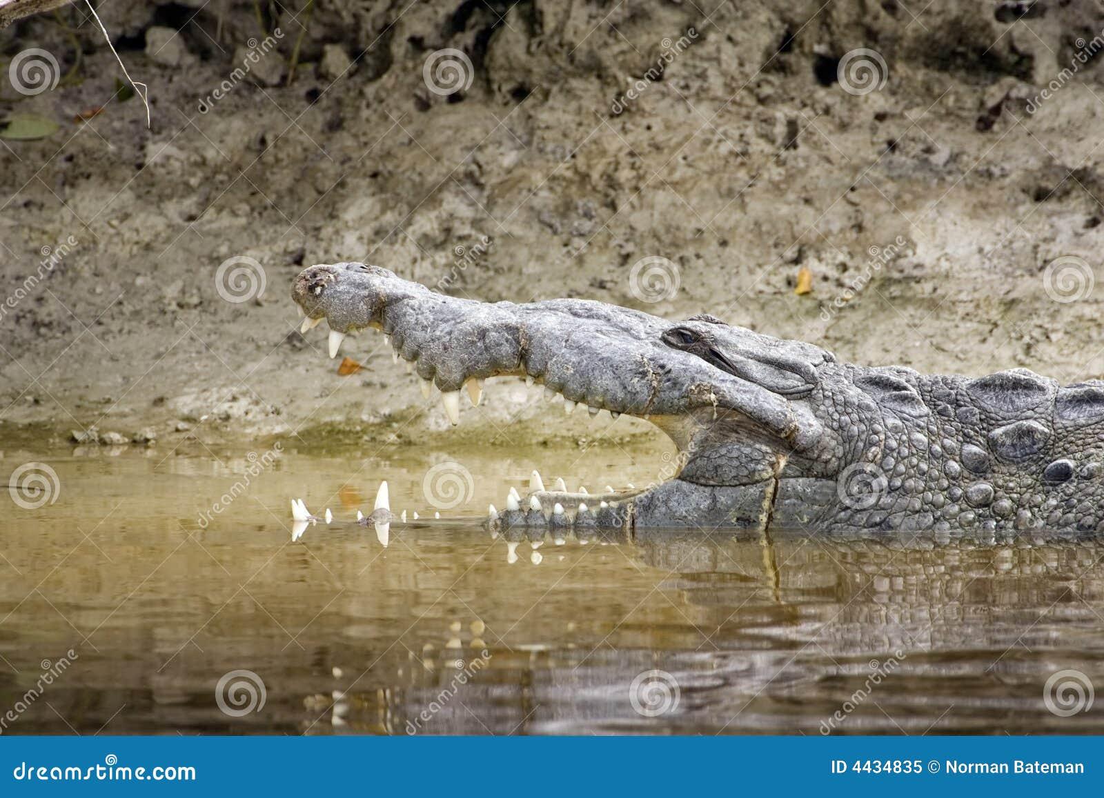 Hoofd schot van een Amerikaanse Krokodil