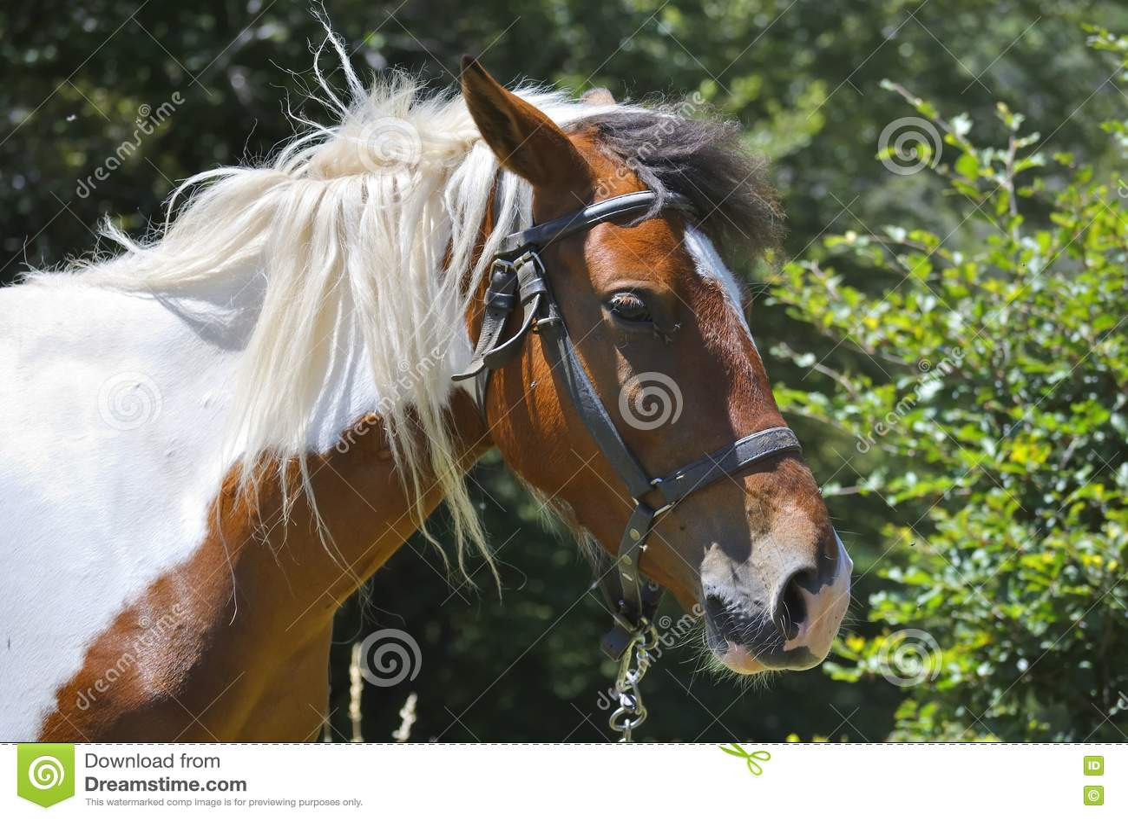 Hoofd van Bruin en Wit Paard