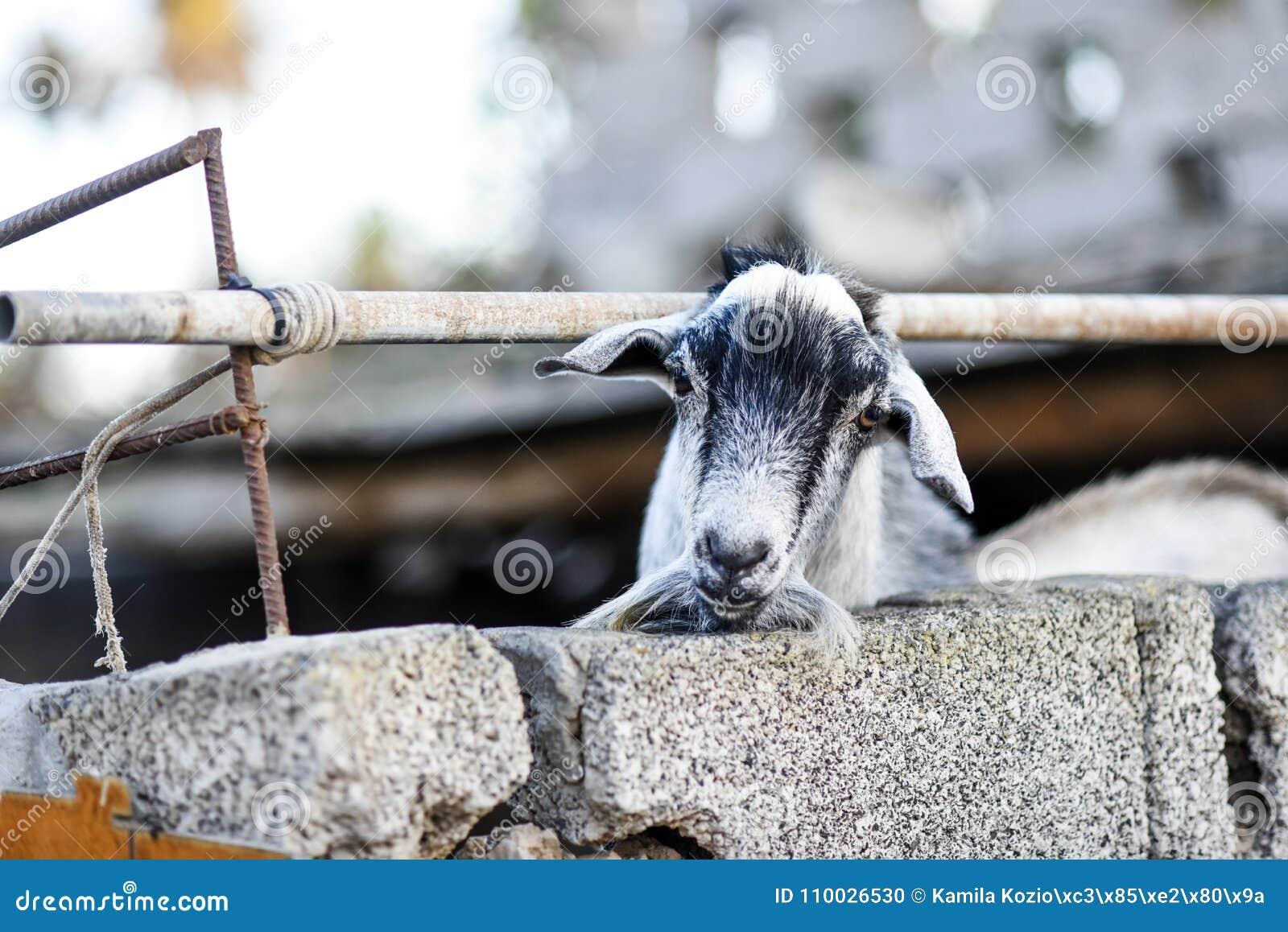 Hoofd van geit het plakken uit van achter een omheining op een boerenerf