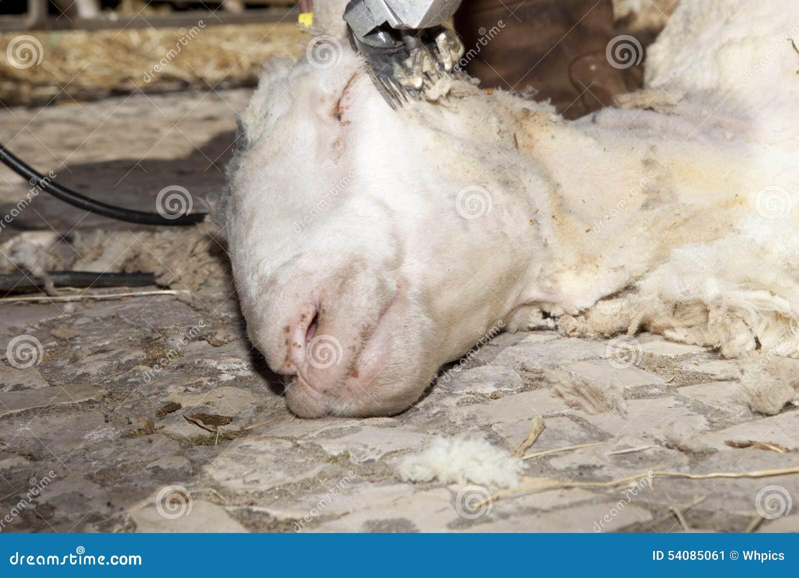 Hoofdschapen die worden geschoren