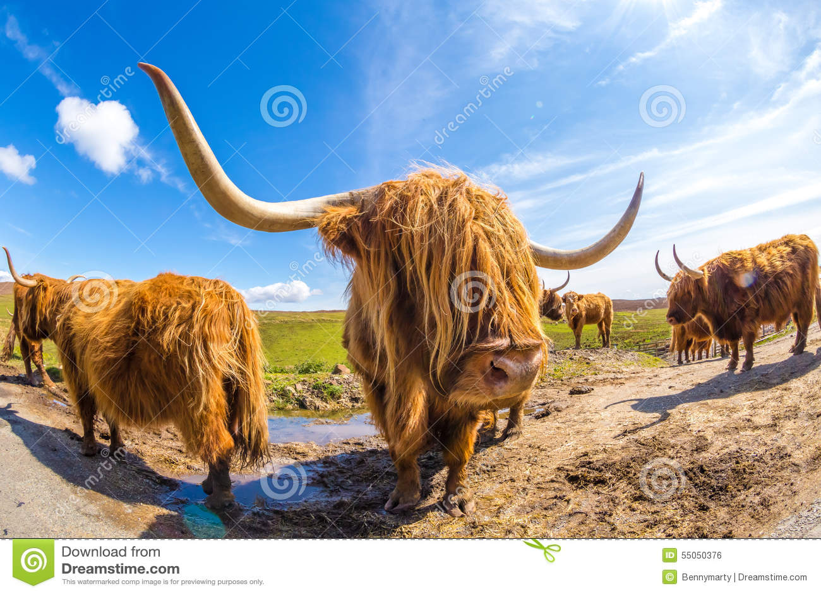 Hoogland Rode Koe