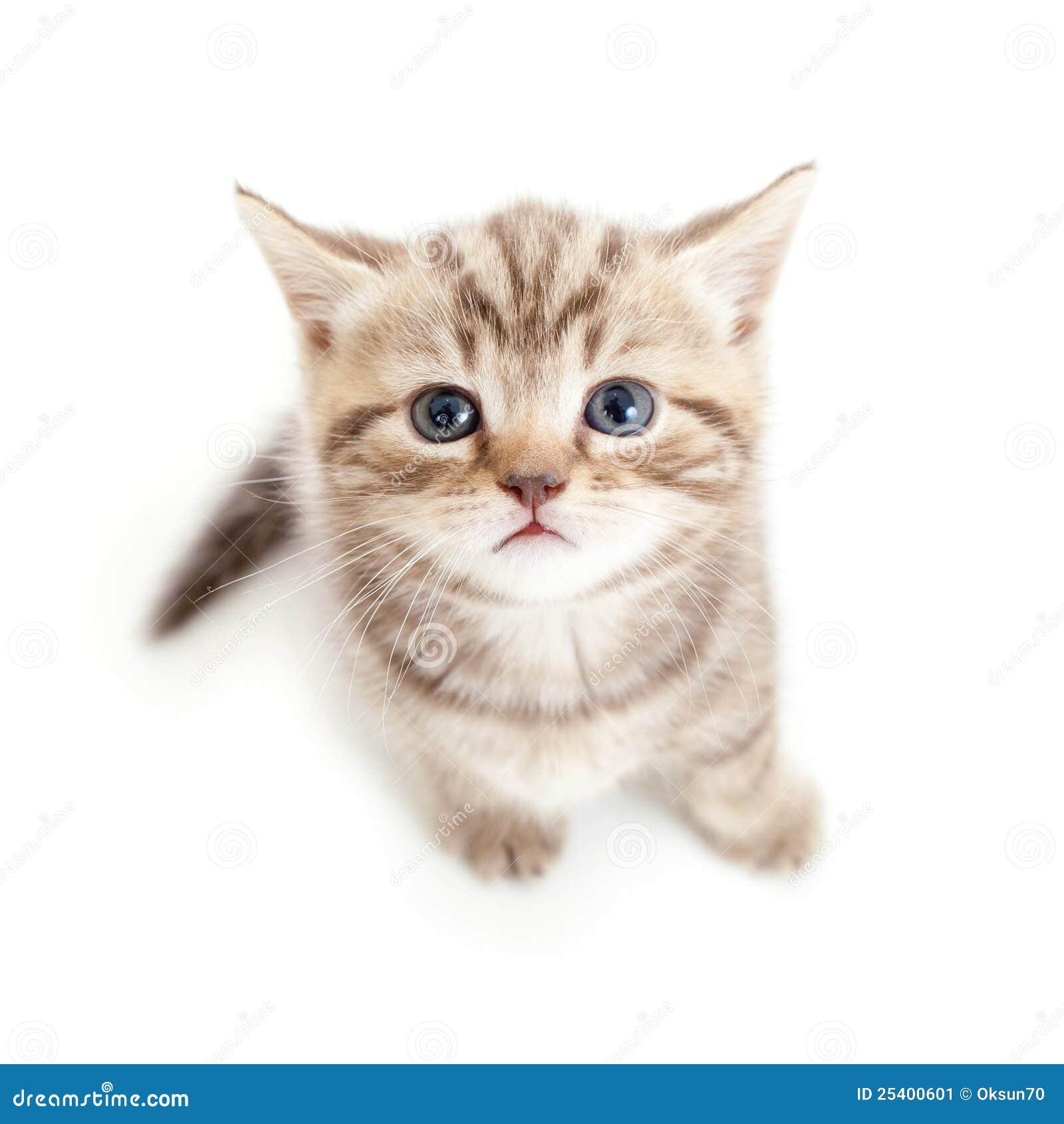 Hoogste mening van babykat op witte achtergrond