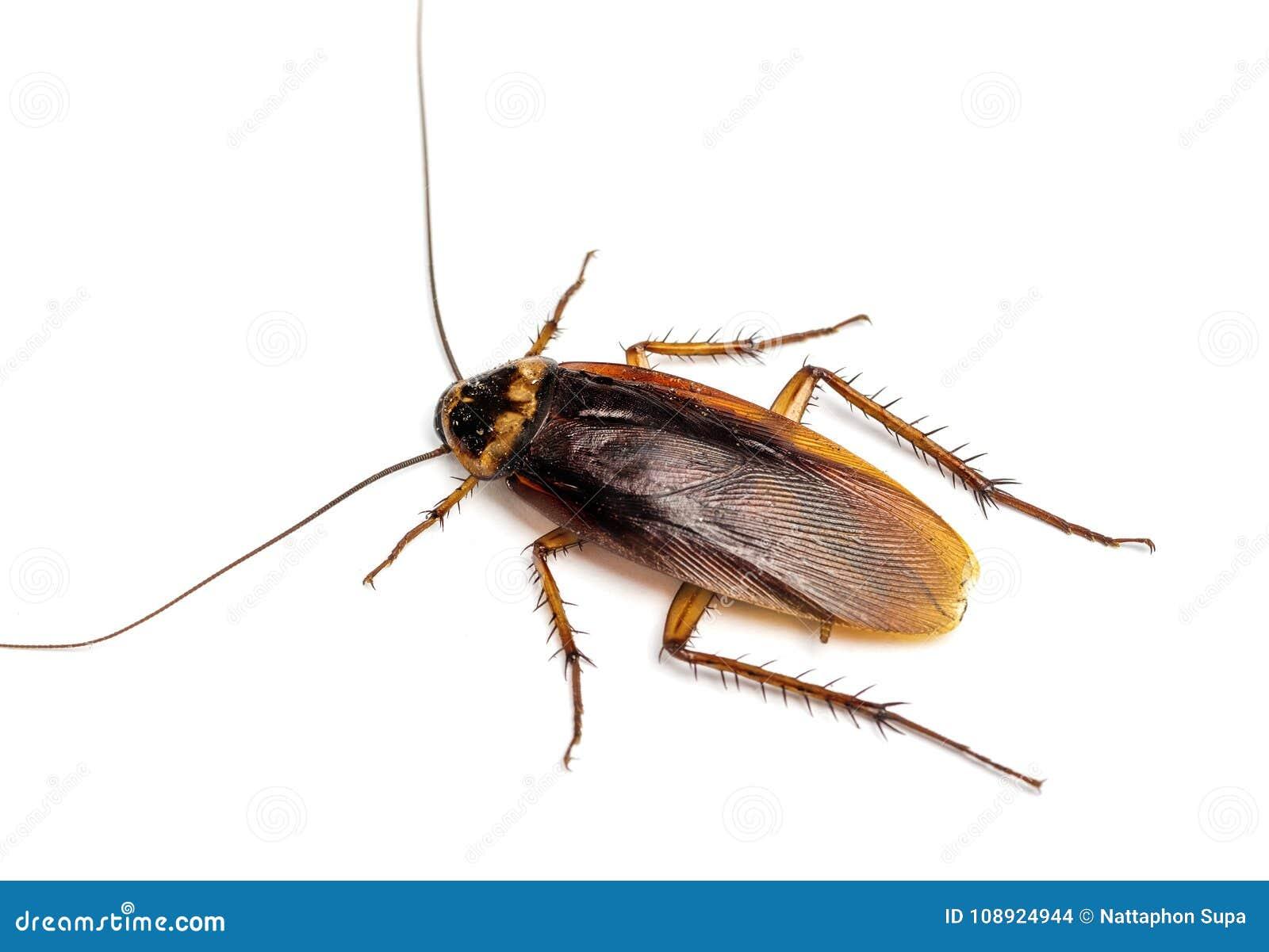 Hoogste mening van een dode die kakkerlak op witte achtergrond wordt geïsoleerd