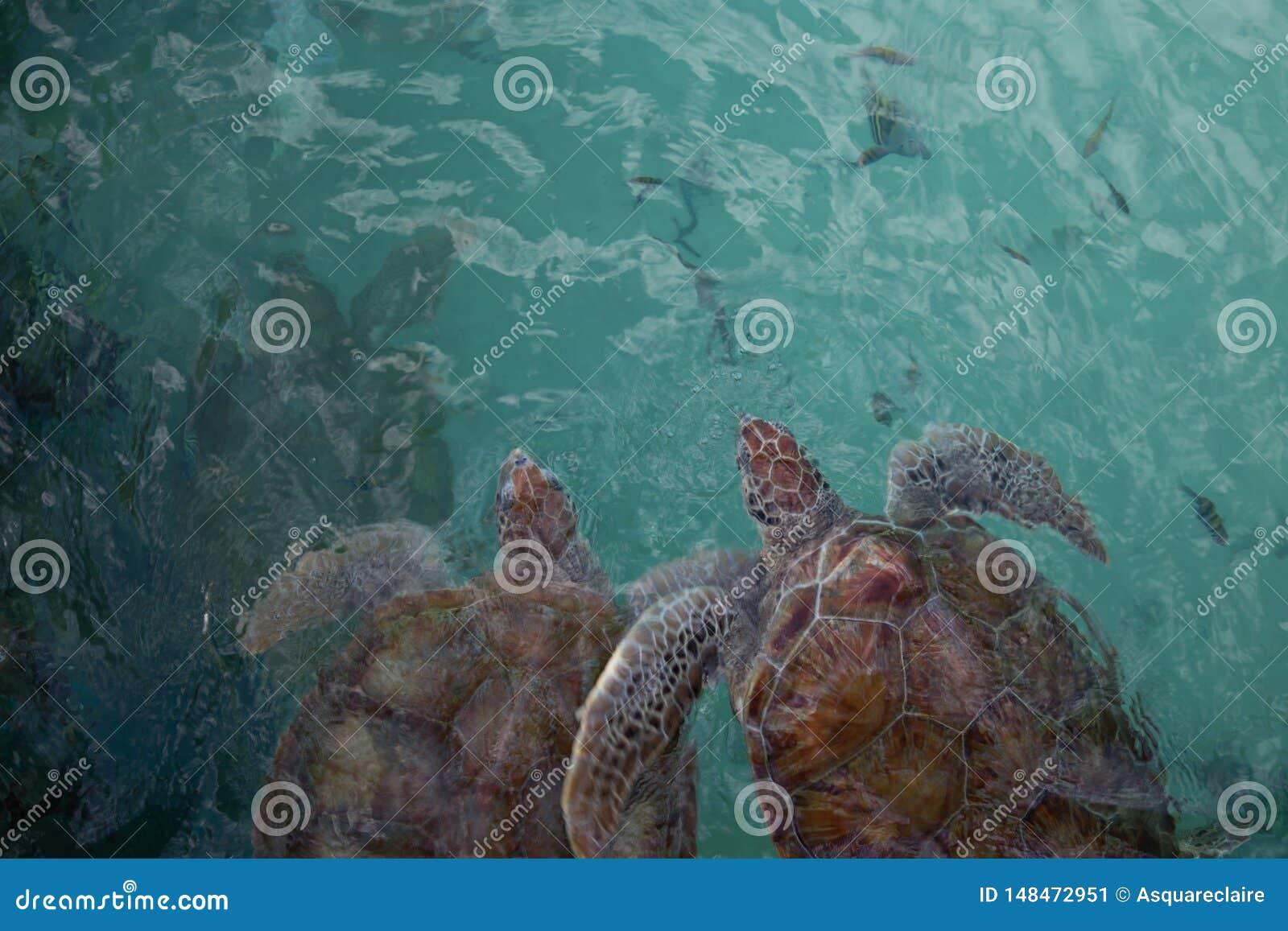 Hoogste mening van twee roodachtige bruine zeeschildpadden die als paar zwemmen onderwater
