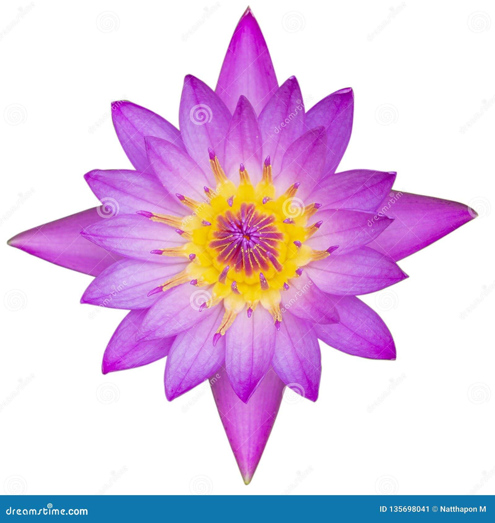 Hoogste menings purpere die lotusbloem op witte achtergrond met het knippen van weg wordt geïsoleerd