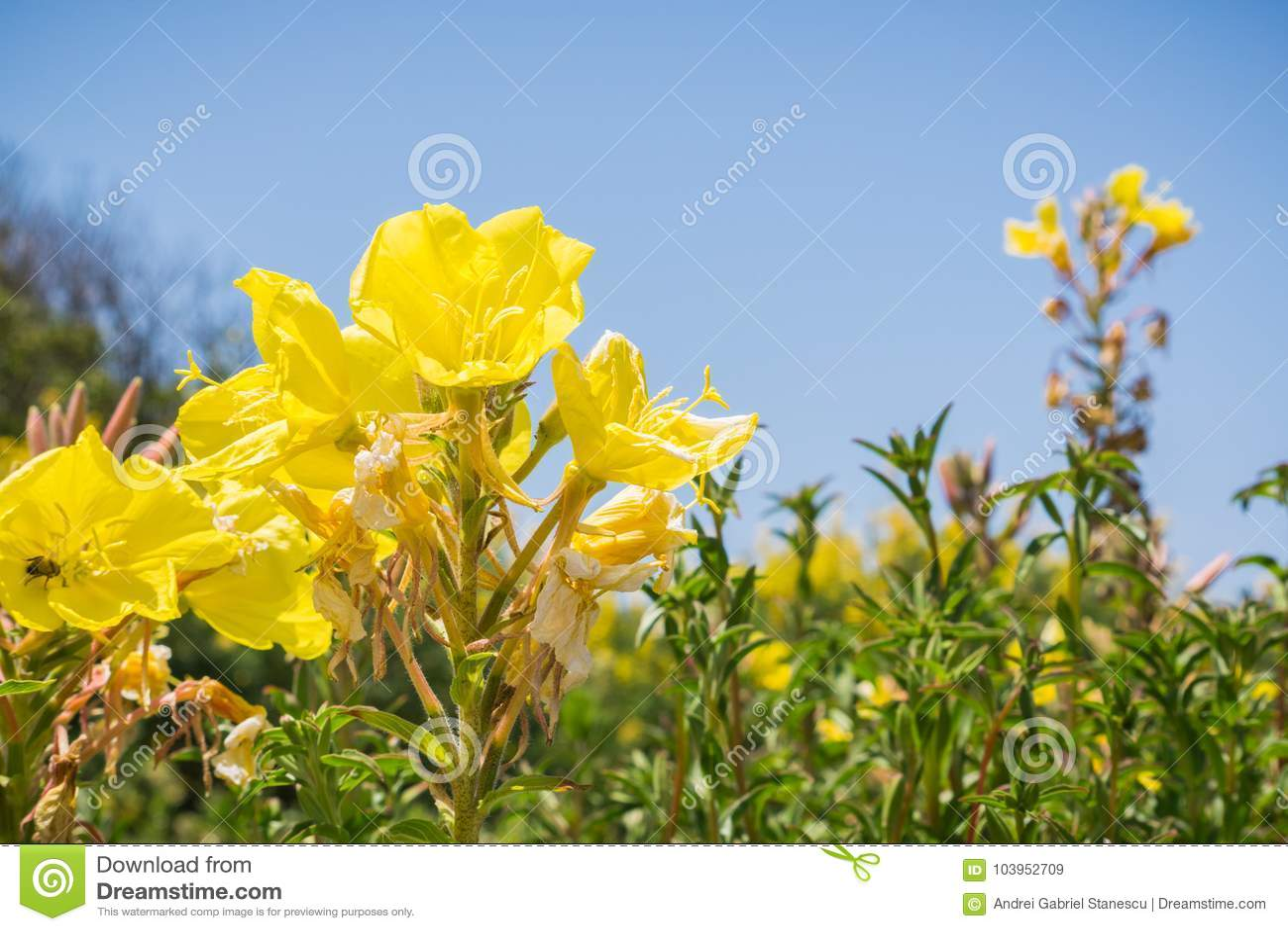Hooker`s evening primrose Oenothera elata wildflower blooming on the Pacific Ocean coastline, California
