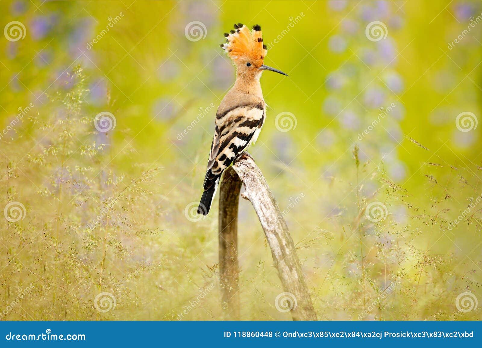 Hoopoe, epops del Upupa, pájaro anaranjado agradable con la cresta que se sienta por la flor violeta en el prado del verano, Hung