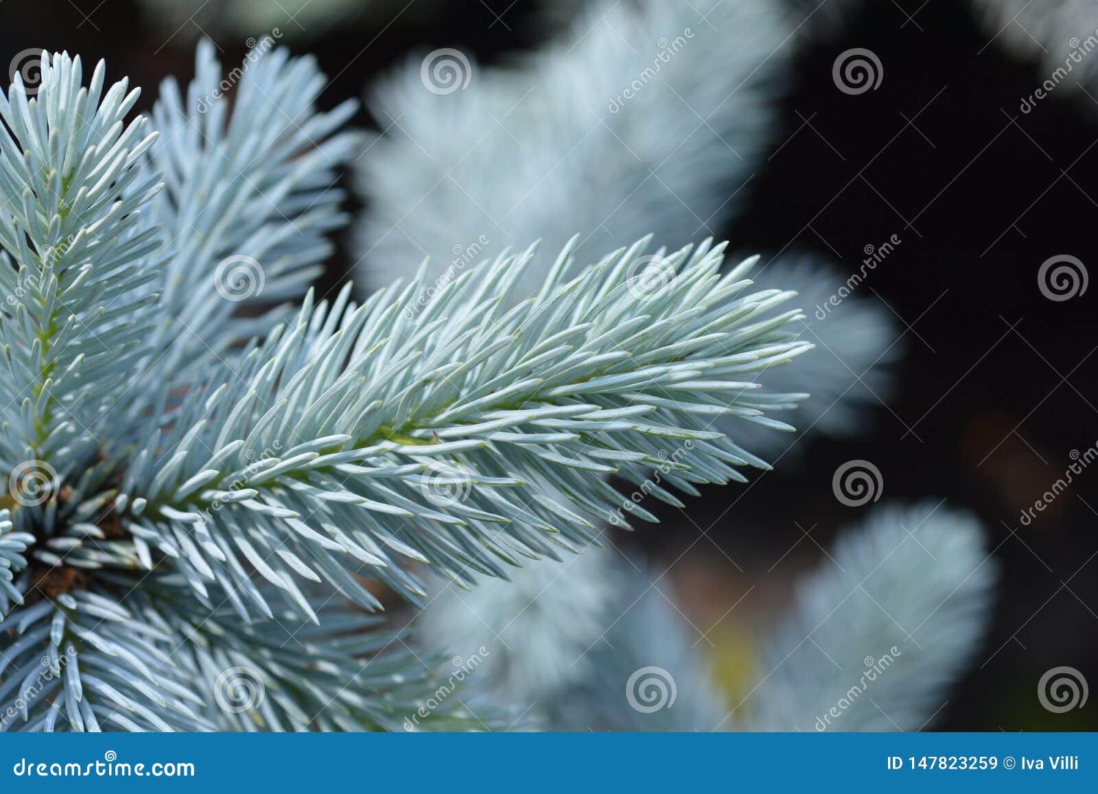 Hoops Colorado blue spruce