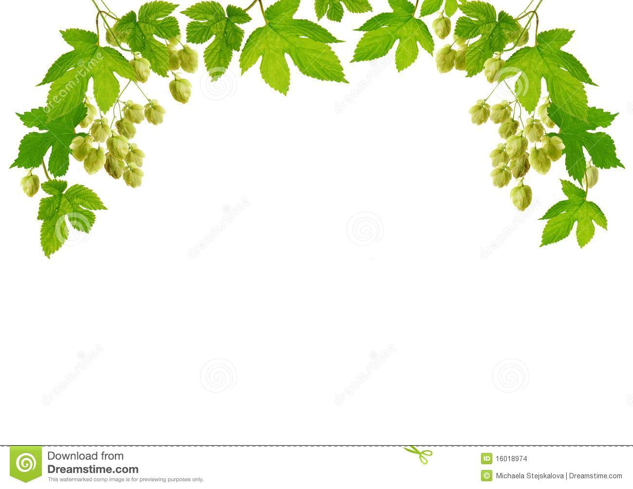 Border of fresh hop plant with cones, isolated on white background.