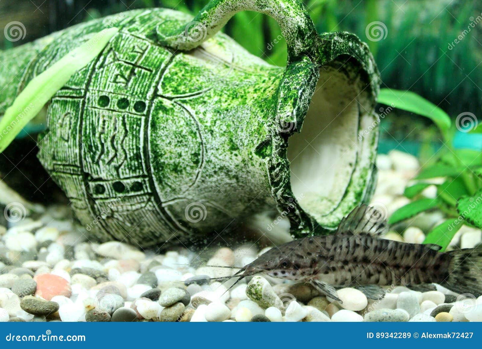 Hoplosternum thoracatum in aquarium