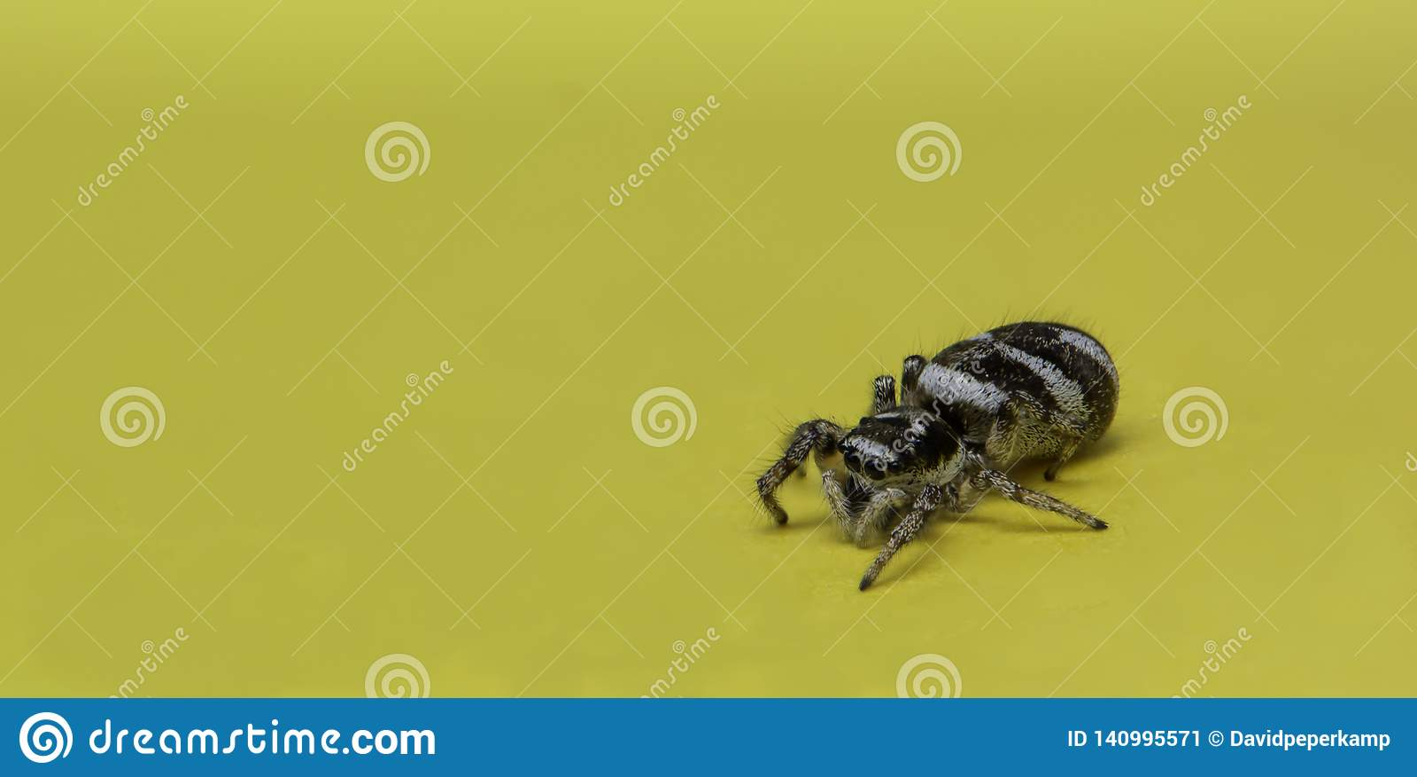 Hoppa spindeln på en gul minneslistaanmärkning, makrofoto