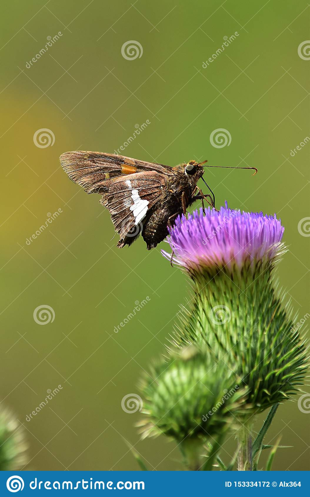 Hopper Butterfly on Thistle