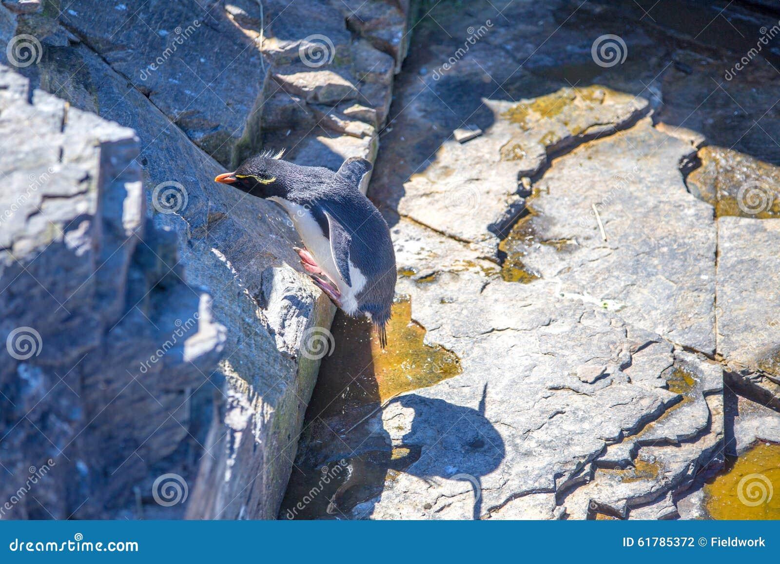 Hopping Penguin Rockhopper επάνω στο βράχο πίσω στην αποικία