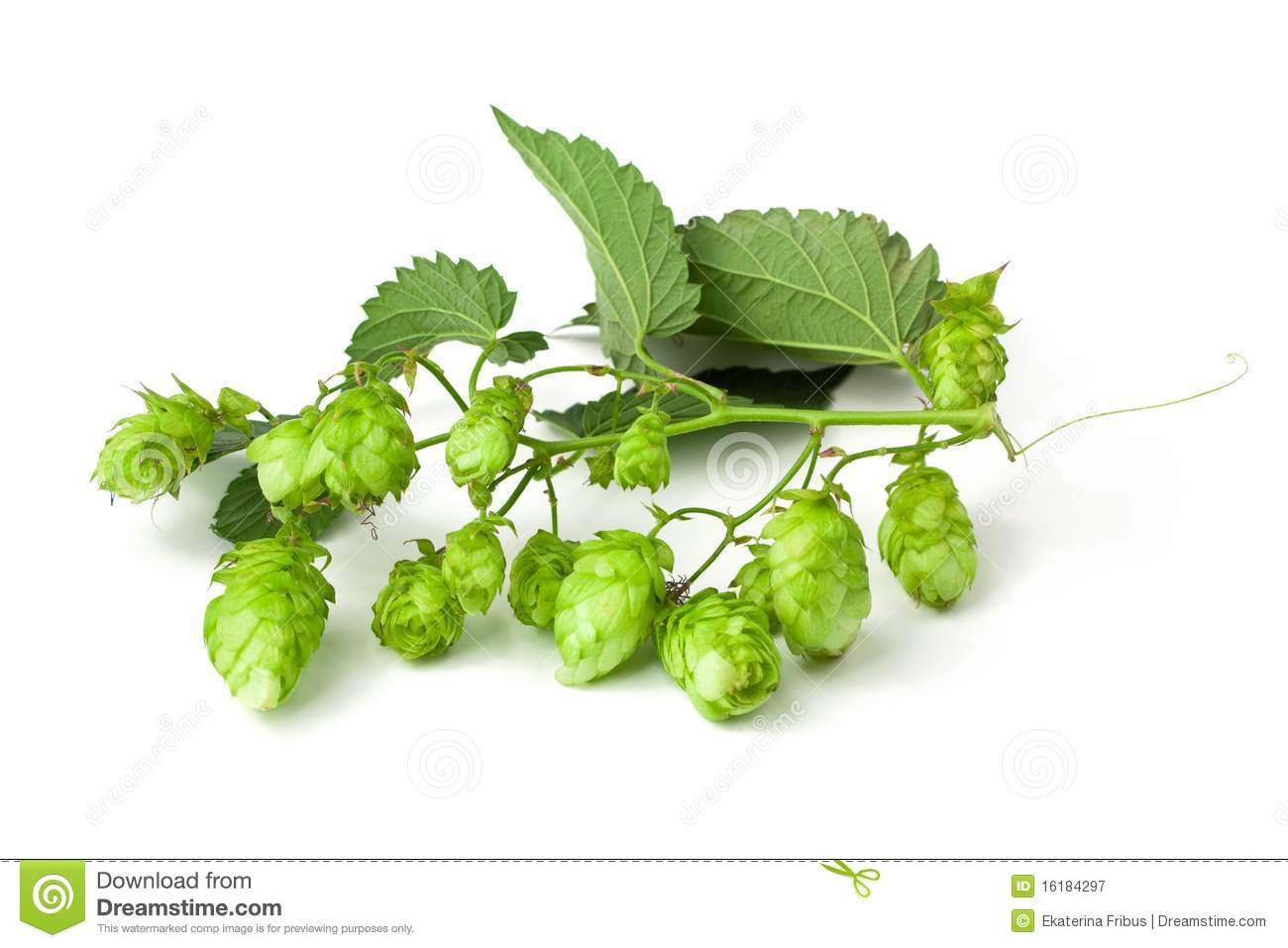 Download Hops branch stock image. Image of hops, cone, brew, harvesting - 16184297