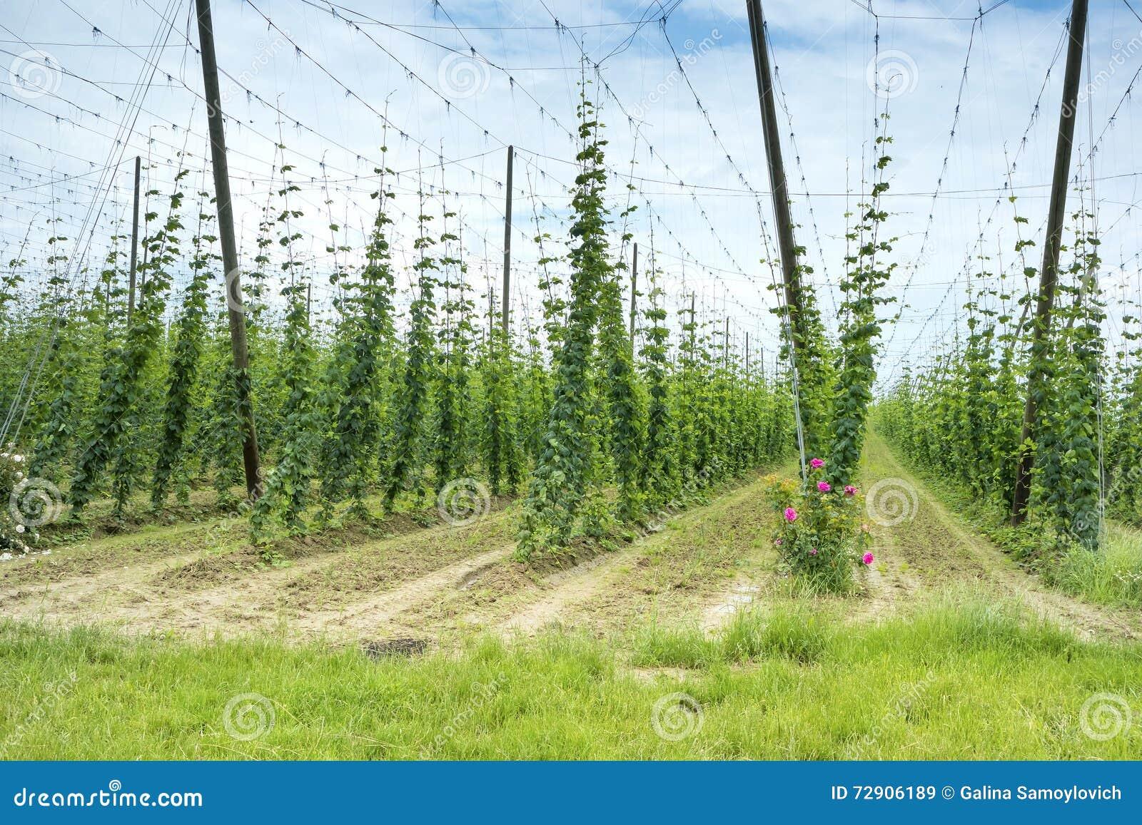 Hops Field in France.