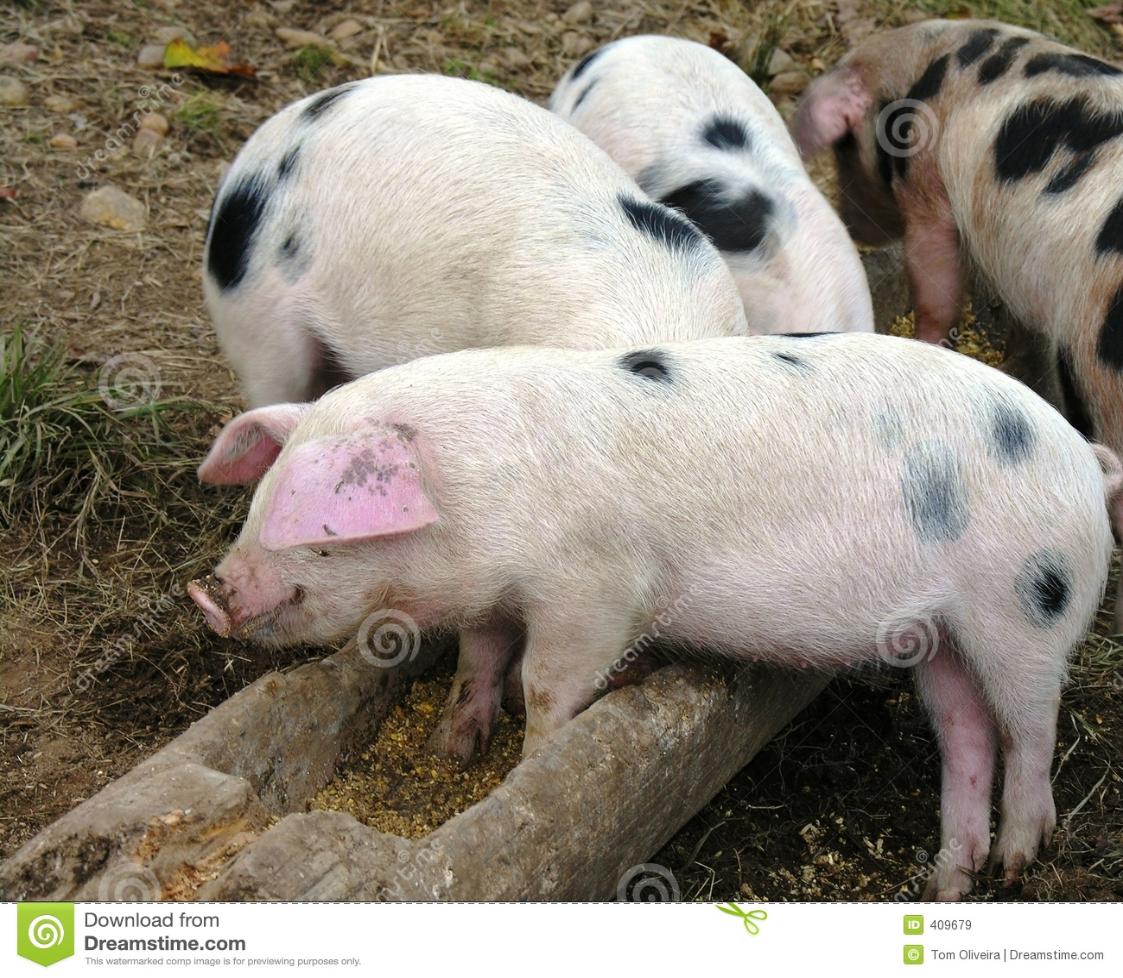 Hora de la comida de los cerdos
