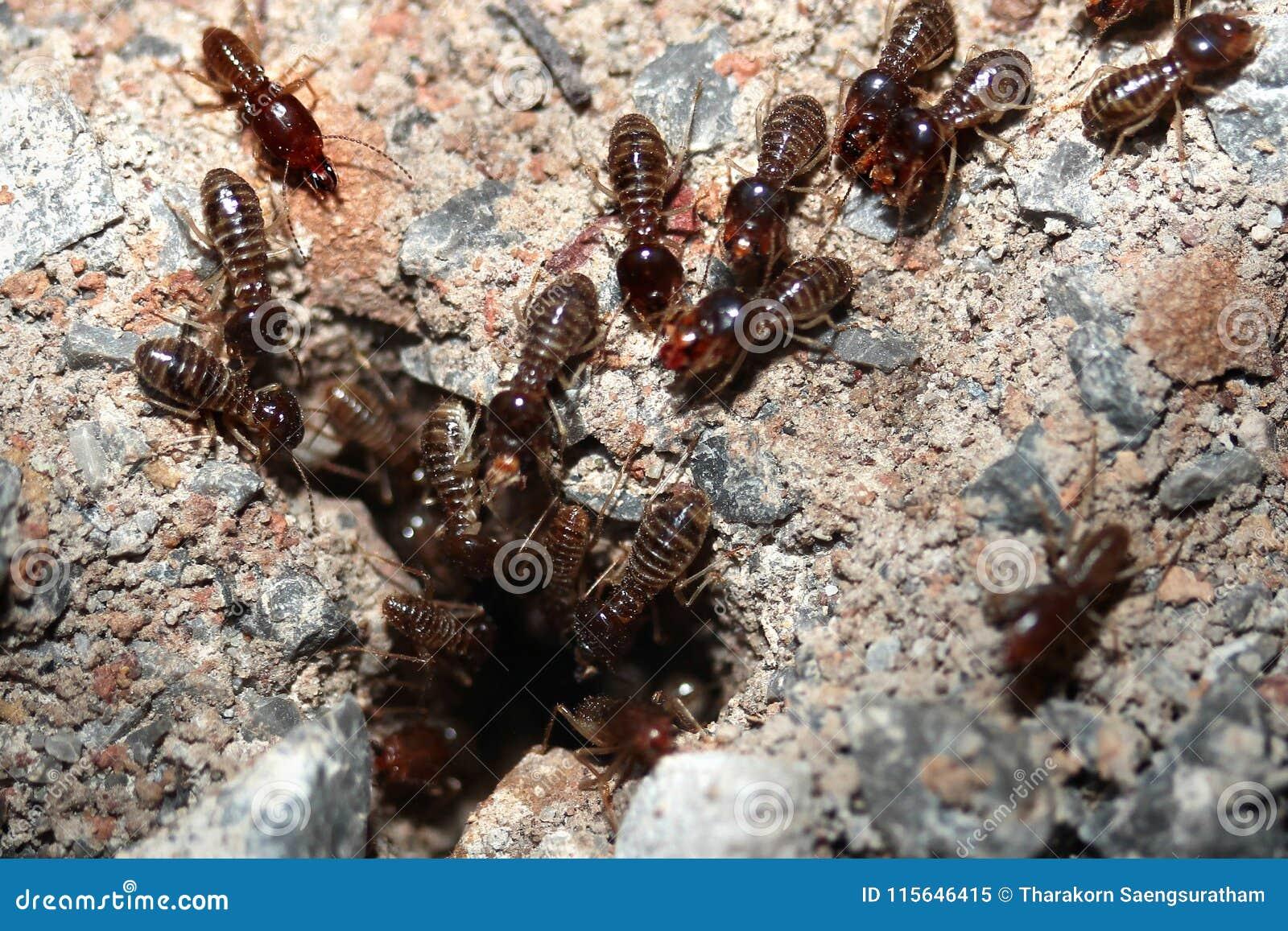 Termites Info Termites White Ants