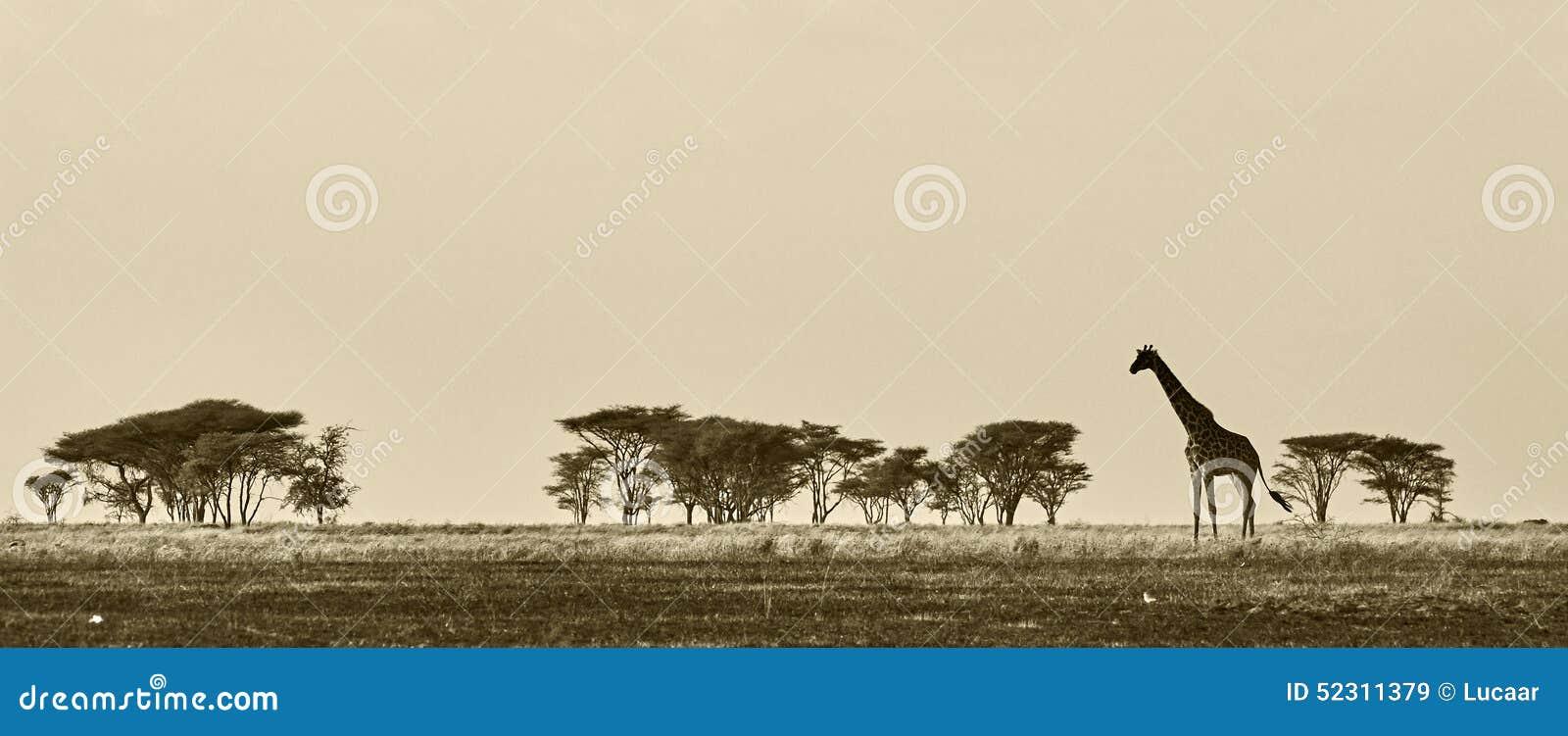Horizontal africain avec la giraffe