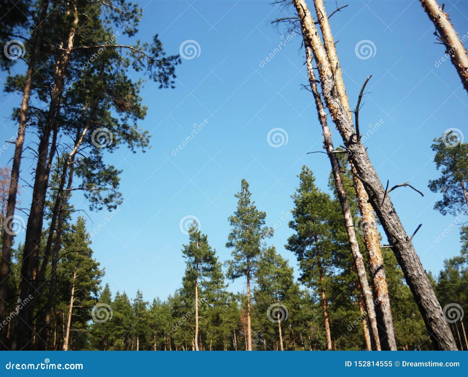 Horizontal avec des pins Ciel bleu de forêt de pin beau
