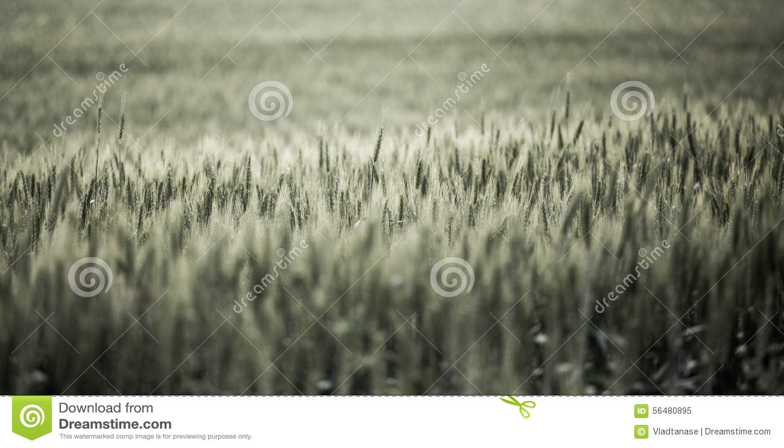 Horizontal avec du blé