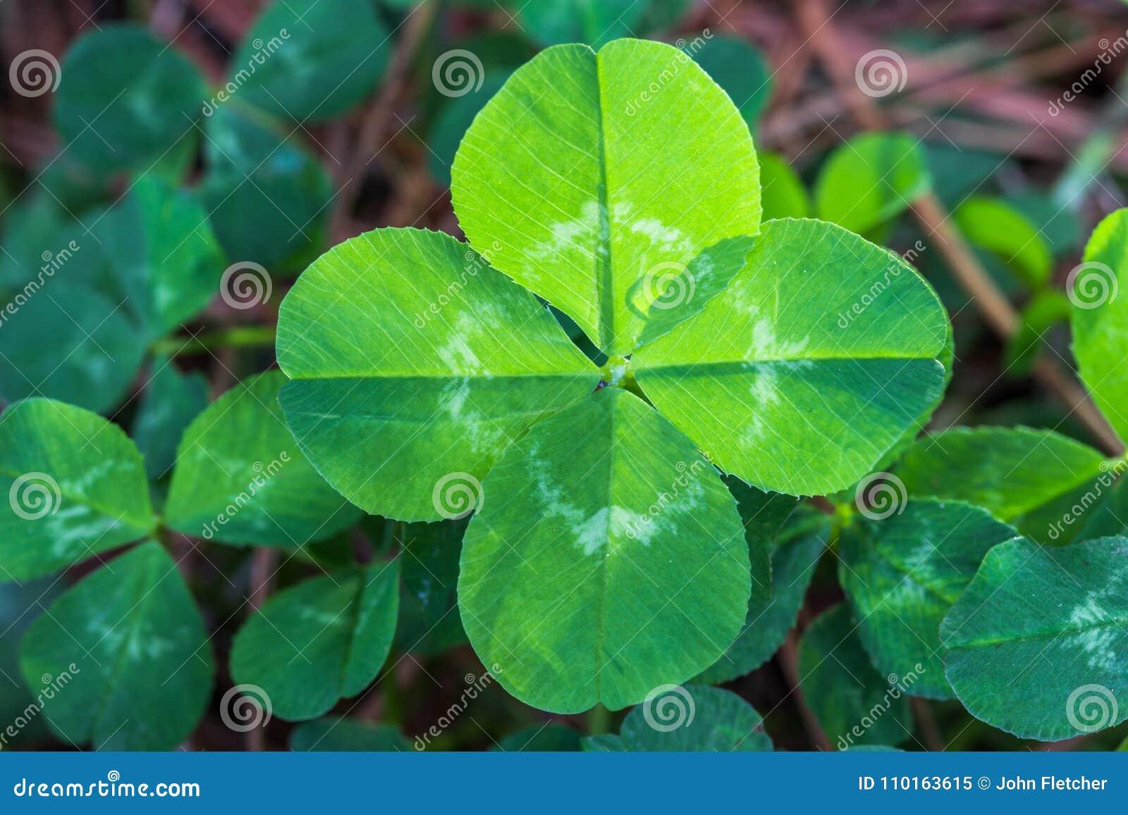 Backlit four leaf clover