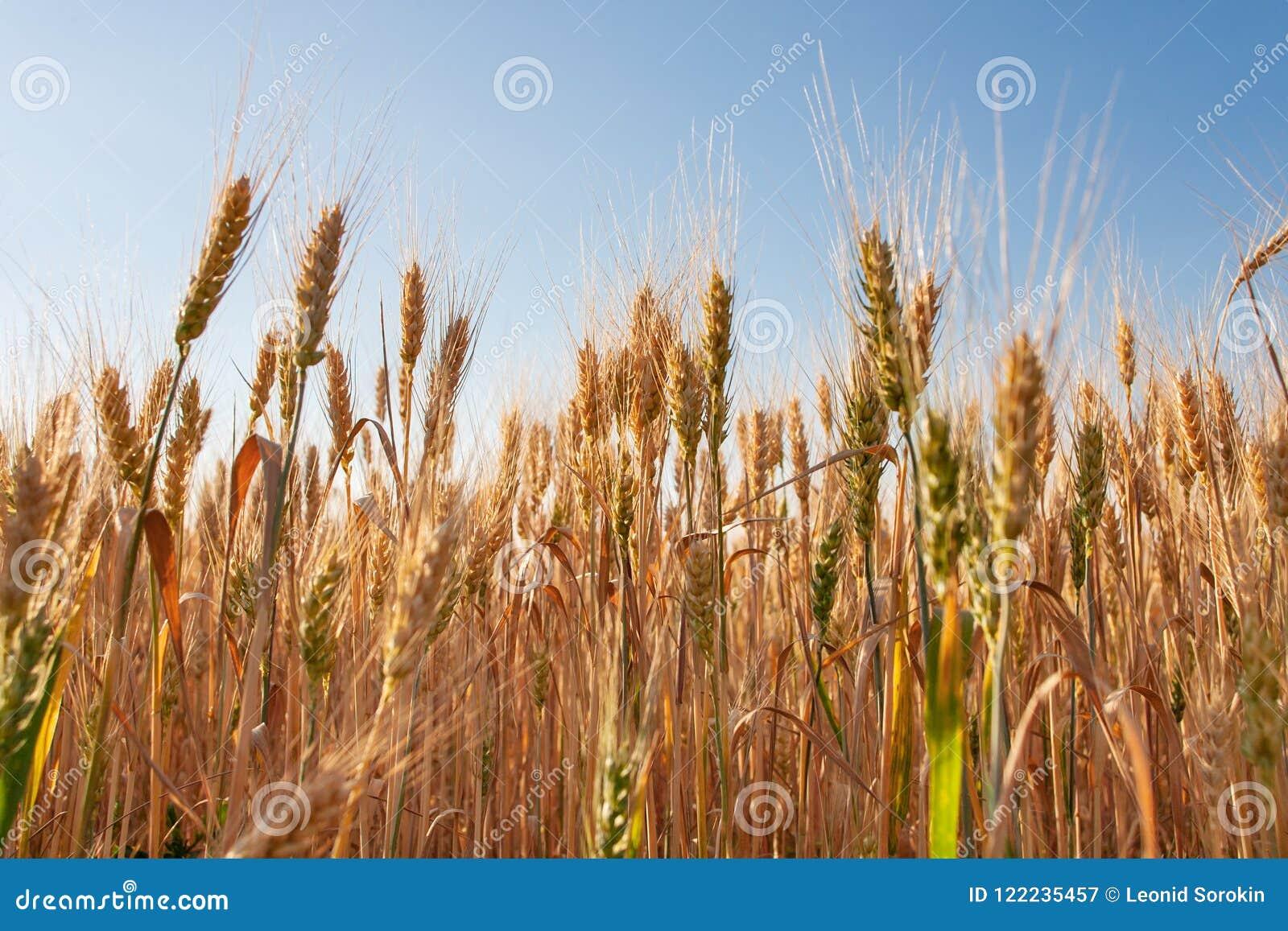 Horizontal de coucher du soleil Zone de blé Oreilles de fin d or de blé