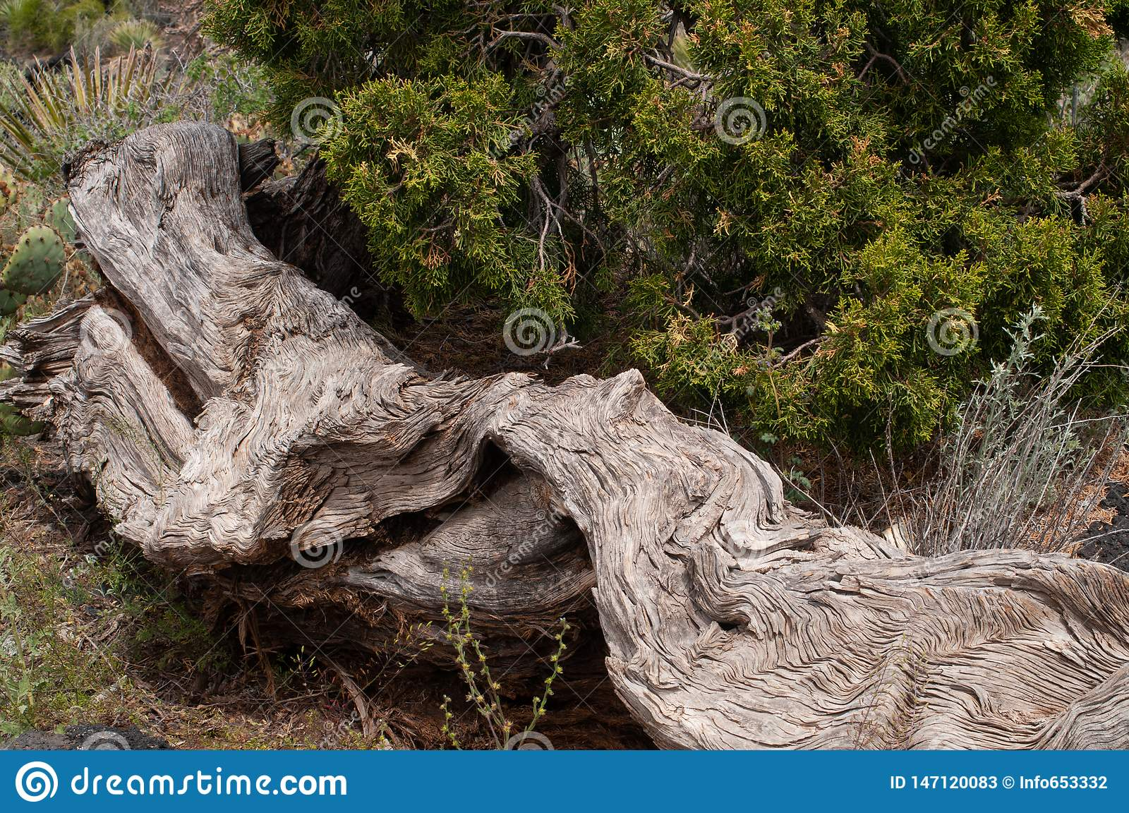 Horizontal of dead tree trunk and living cedar, Valley of Fire Recreation area near Carrizozo, NM