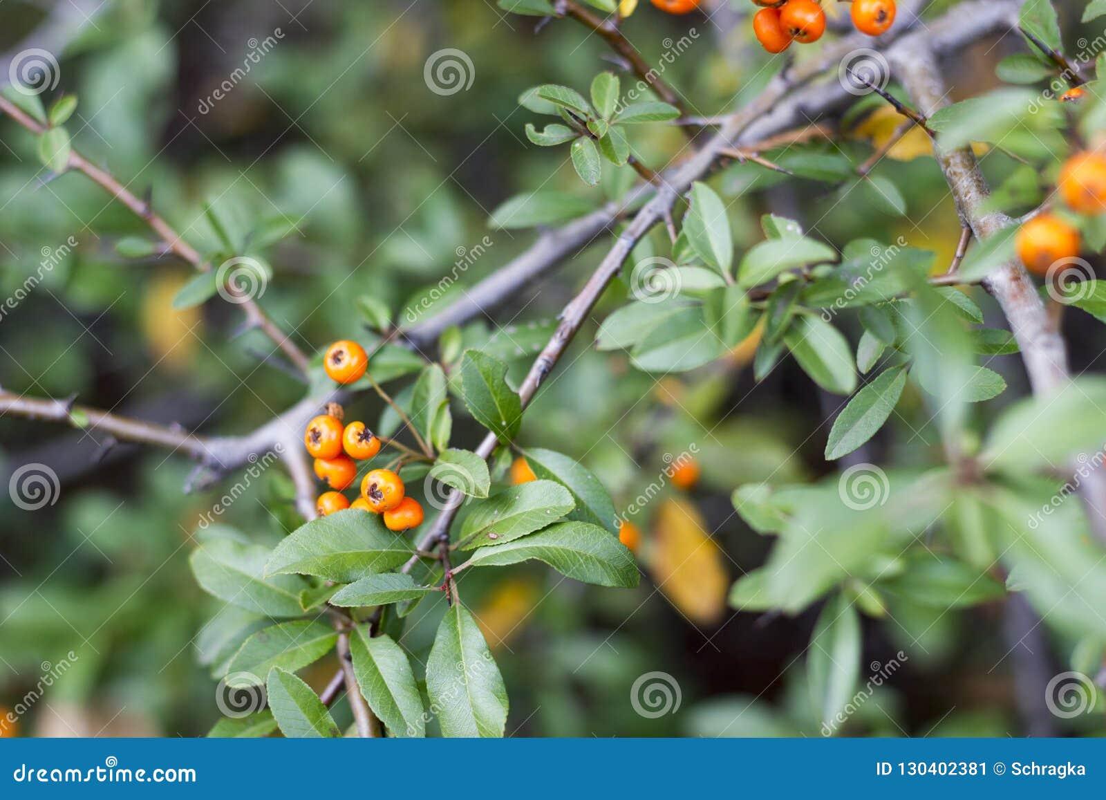 Horizontal Photo Of Fall Orange Berries On Bush Stock Image