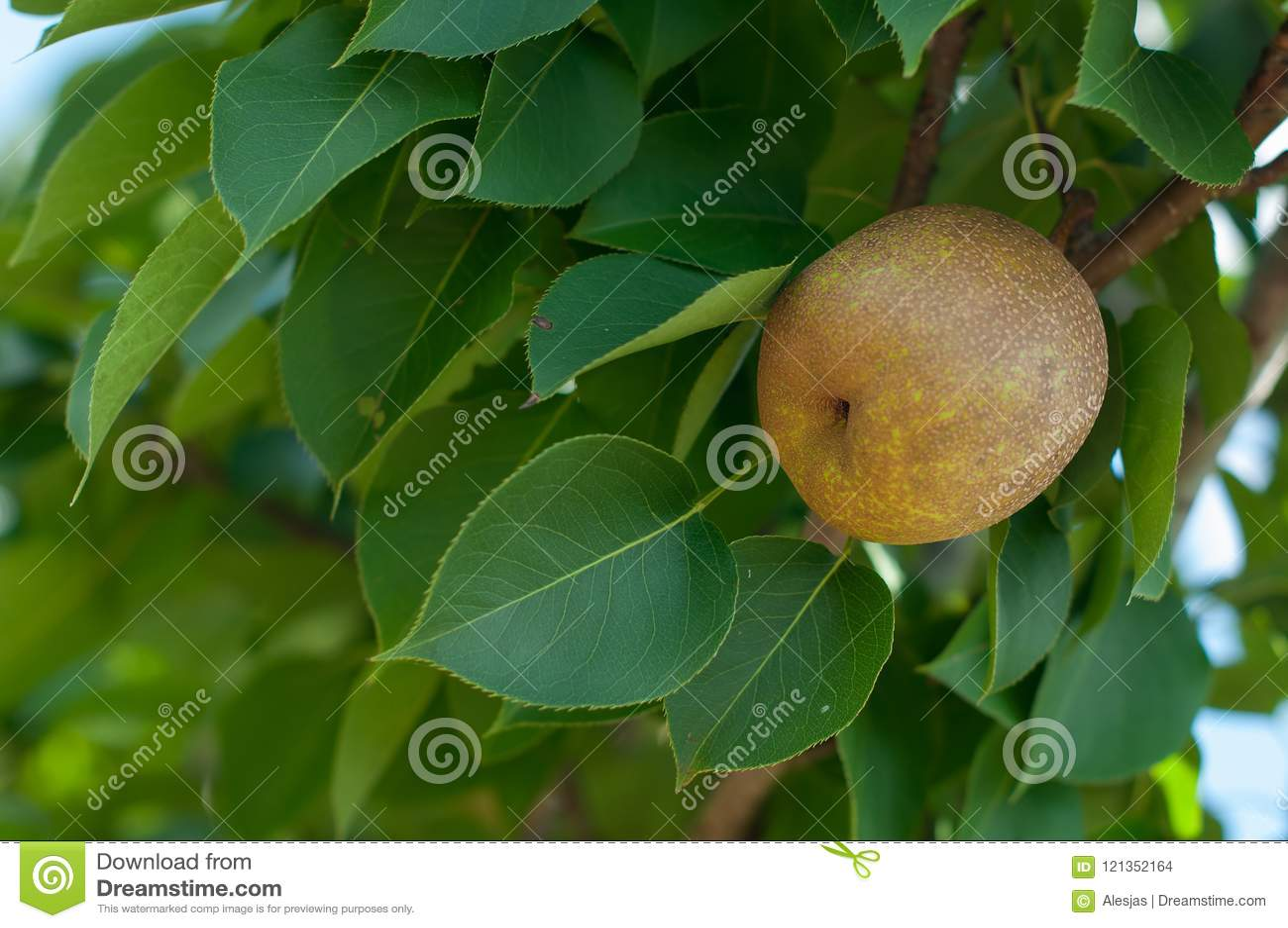 Sorry, asian pear leaf you