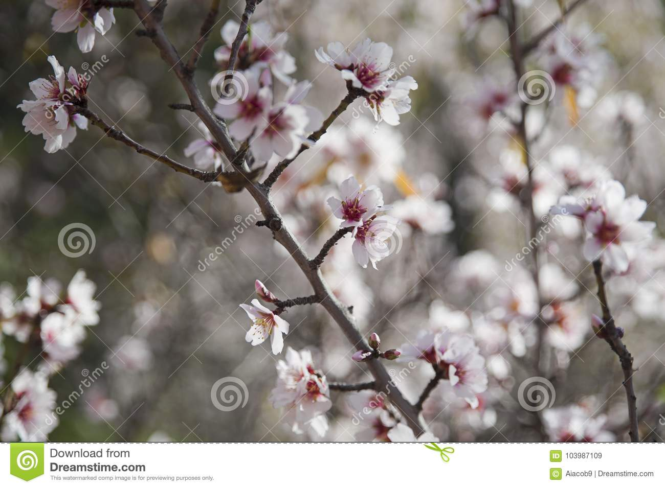 Sweet Almond Tree Blossoming Displaying Clusters Of Delicate And