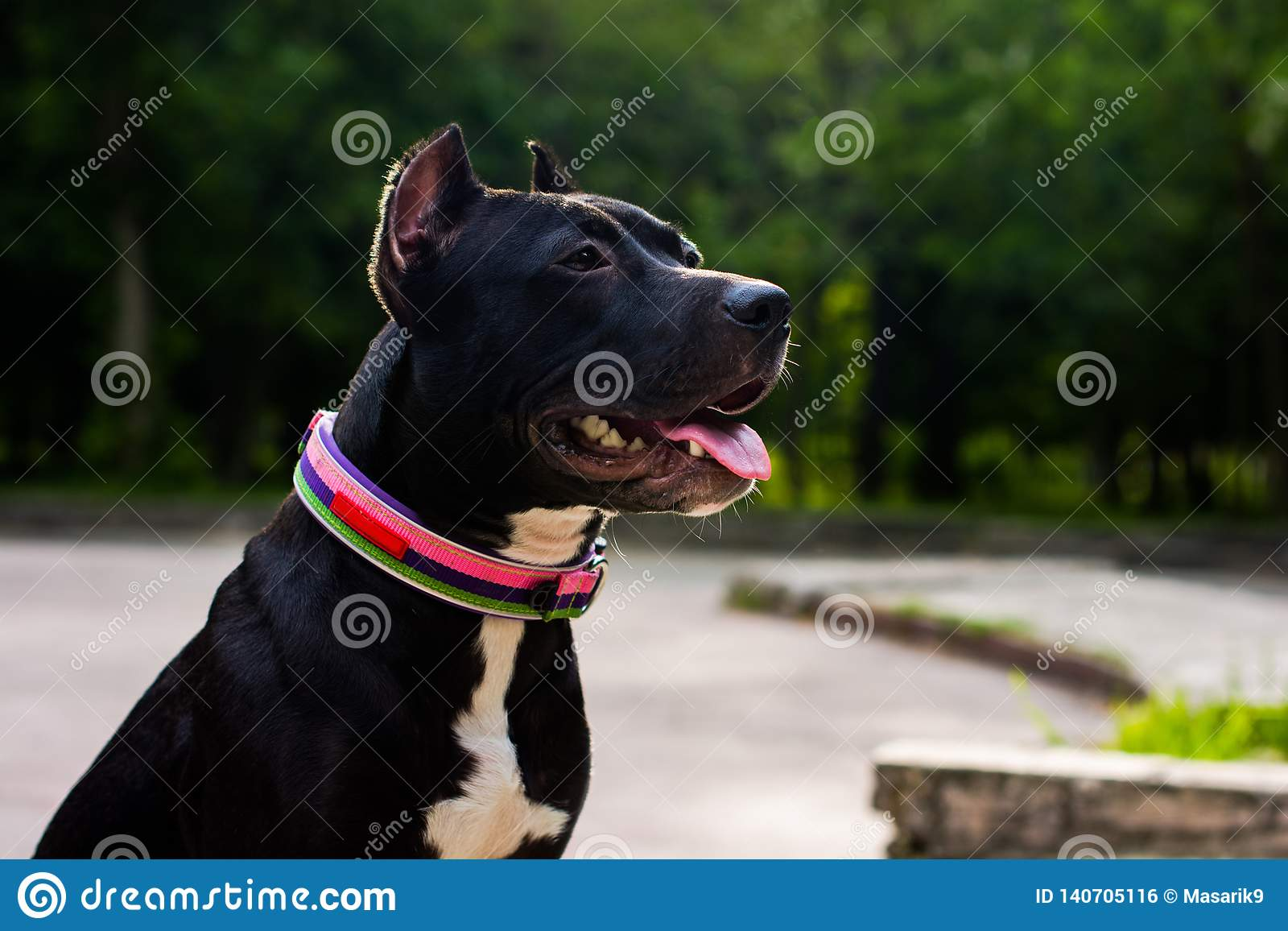 Horizontales Porträt Schwarzweiss-American Pit Bull Terrier in einem Kragen sitzt und lächelt mit der Zunge im Park