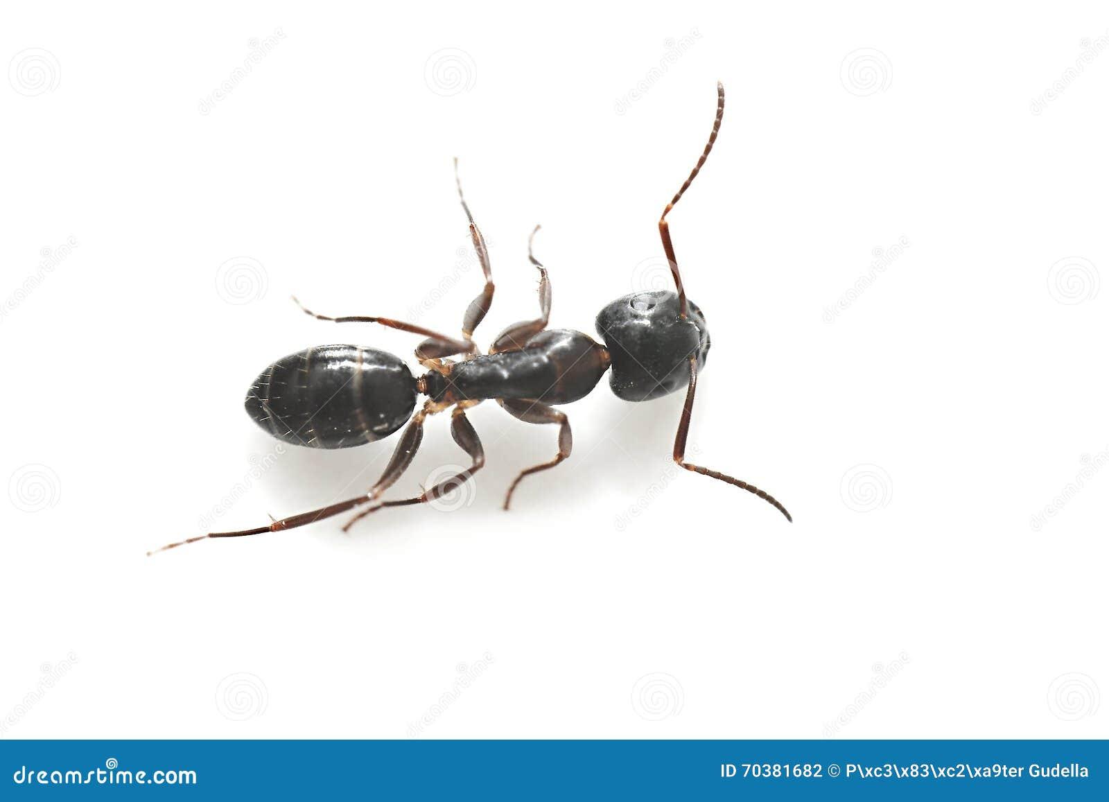 Hormiga negra com n del jard n foto de archivo imagen for Hormigas en el jardin